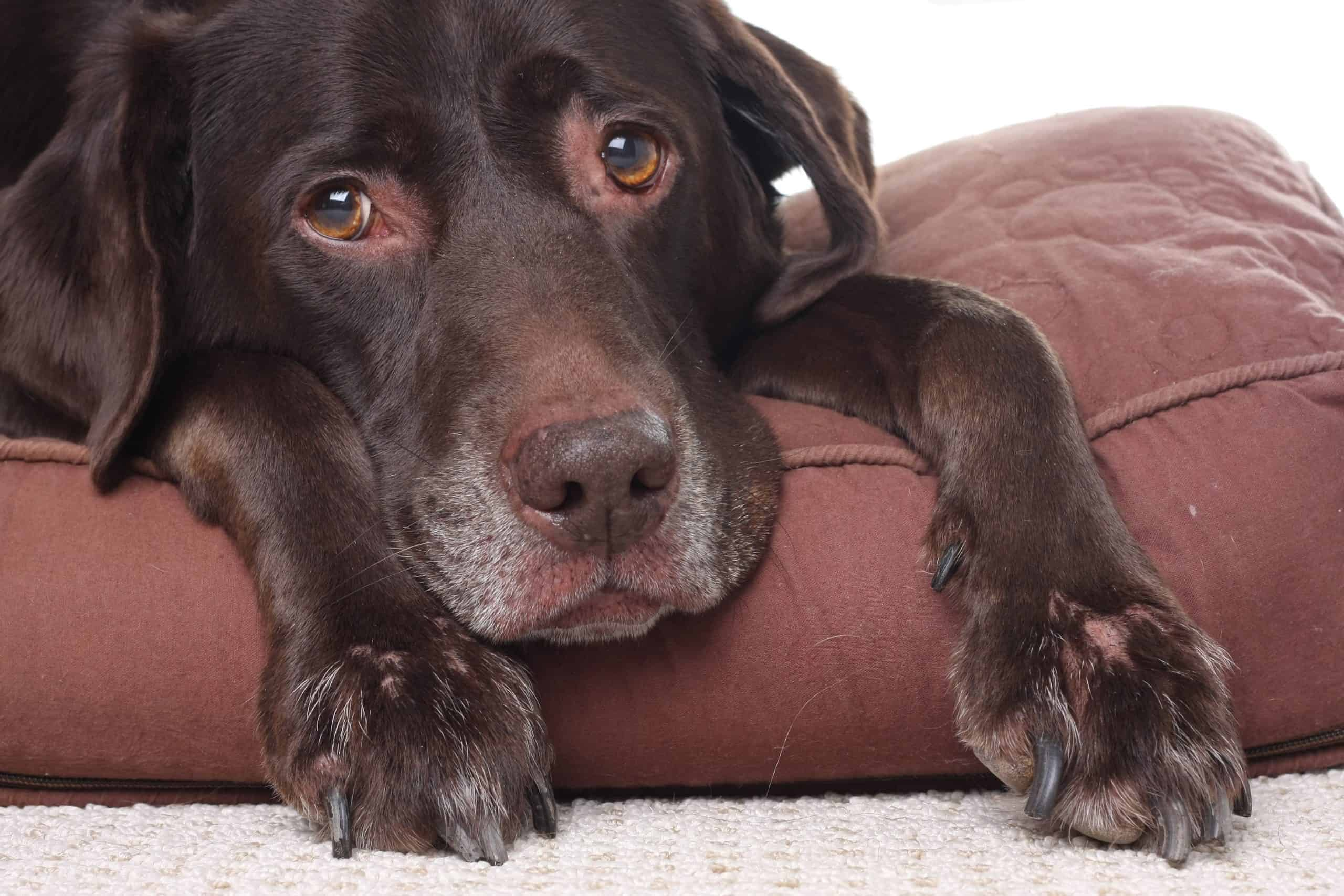 A sad, sick dog rests on a cushion. There's no known cause of canine pancreatitis. There is no breed disposition, and it's not more common for older or younger dogs.