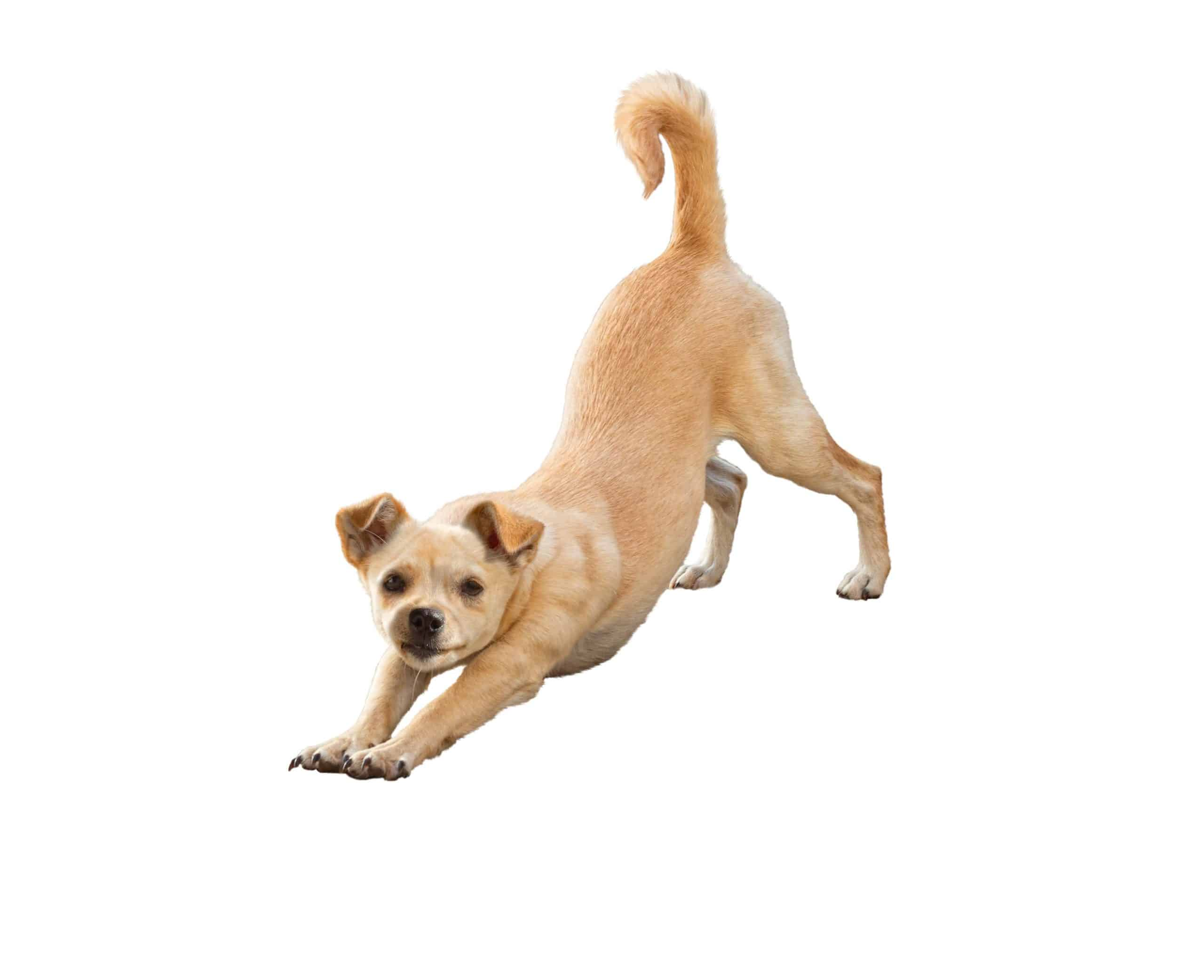 "Dog stretches into downward dog stretch. One sign you might notice during pancreatitis flare-ups is the ""praying position."" Your dog may lower their front legs and head while keeping their rear end in the air (similar to a ""downward facing dog"" in yoga), trying to relieve the discomfort in their stomach."