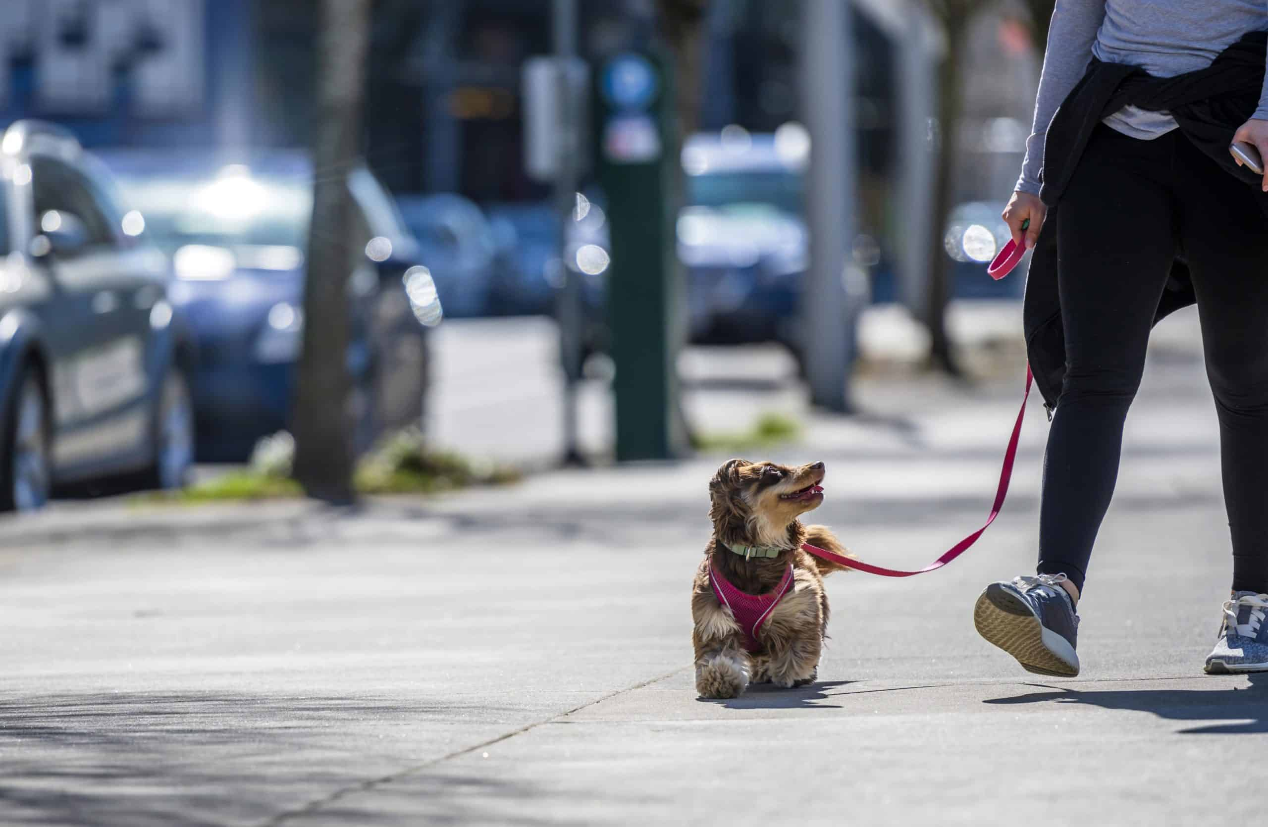 Owner takes dachshund for walk in the city. Some dogs struggle to adjust to the noise and crowds in the city.