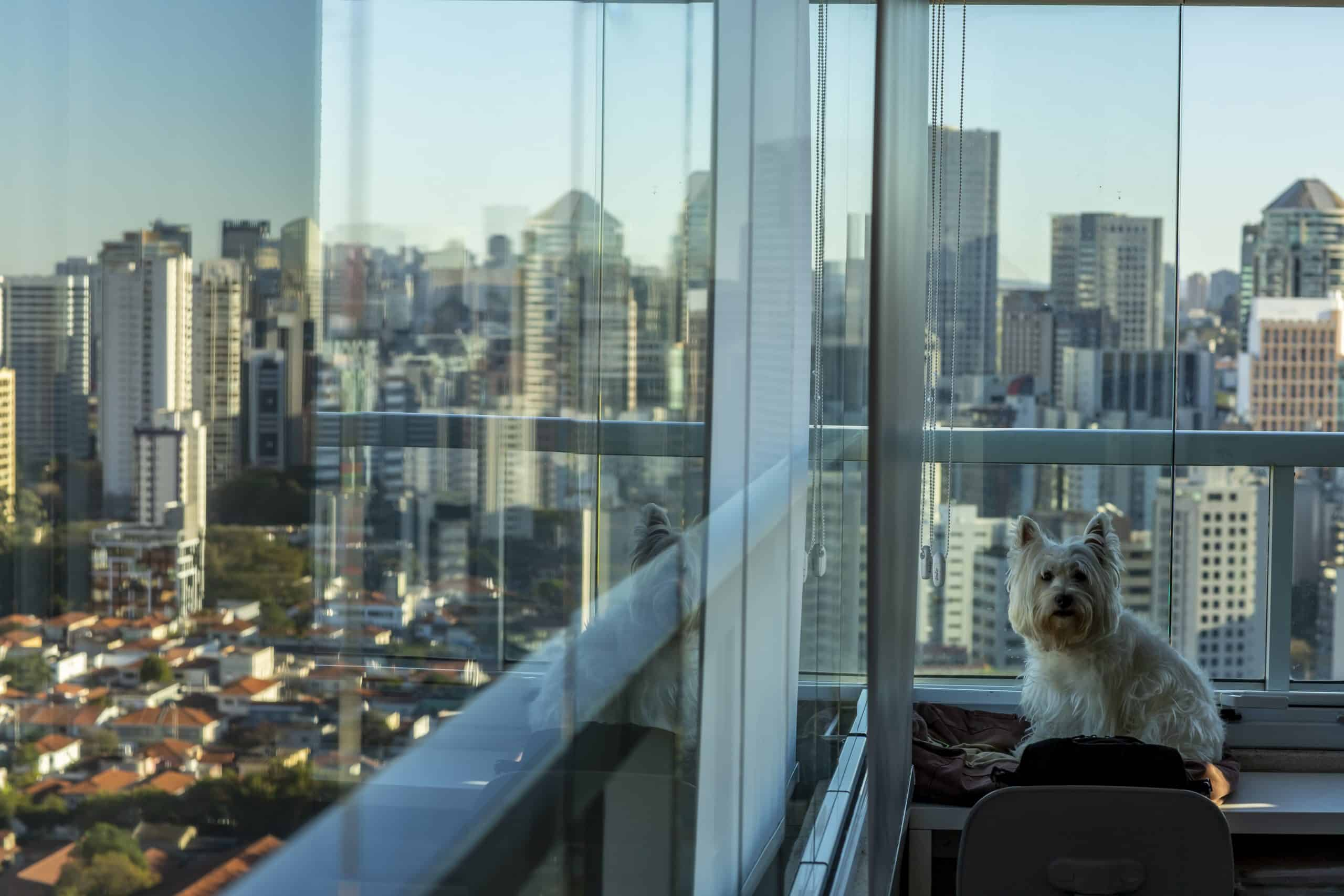 Cute Westie sits in apartment overlooking busy city. Help your dog adjust to city life by exposing it to cars, escalators, elevators, trains, trams, and buses.