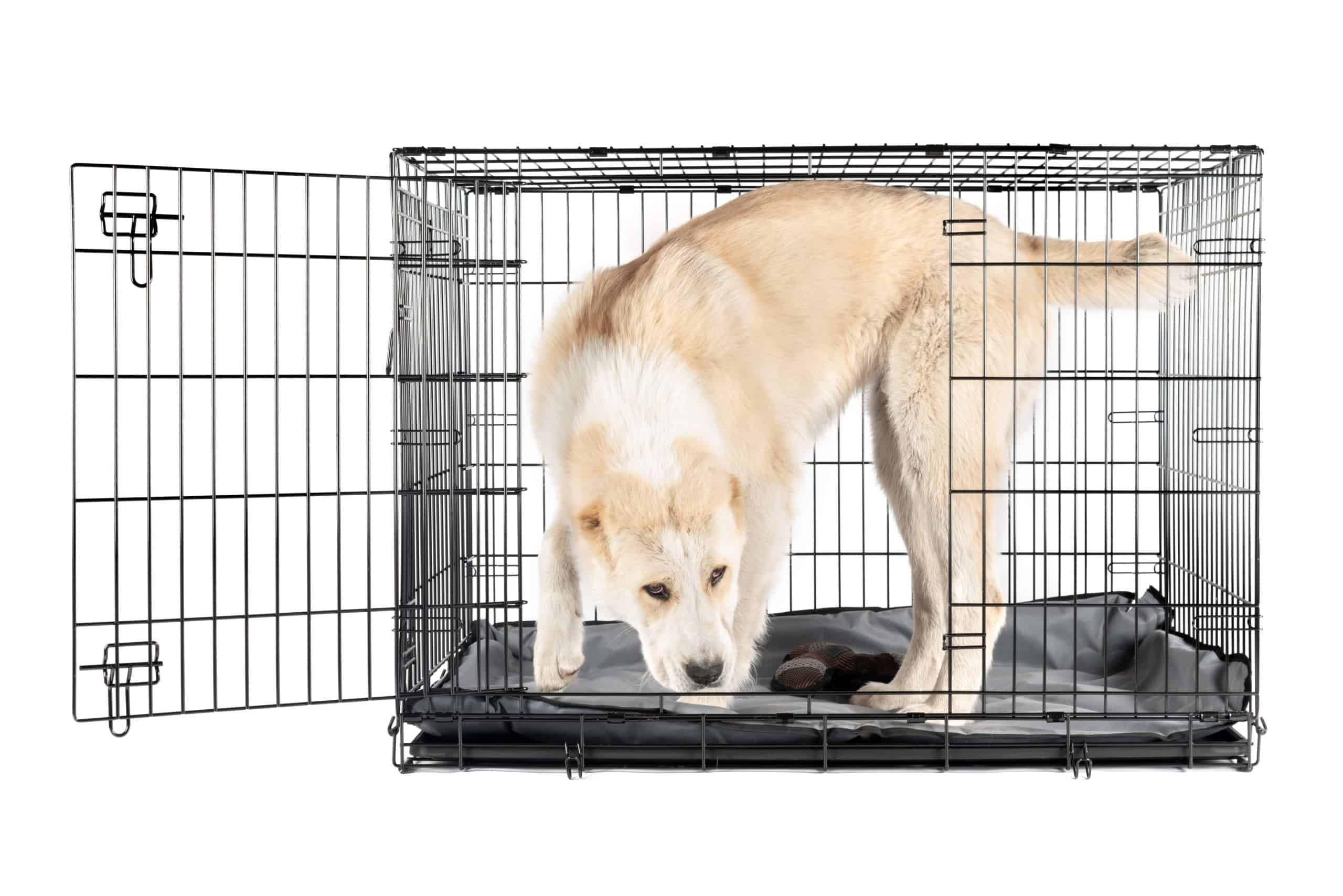 Large dog explores a wire crate. Crate training your dog: Start by choosing the right type and crate size, and determine the right spot for the crate.