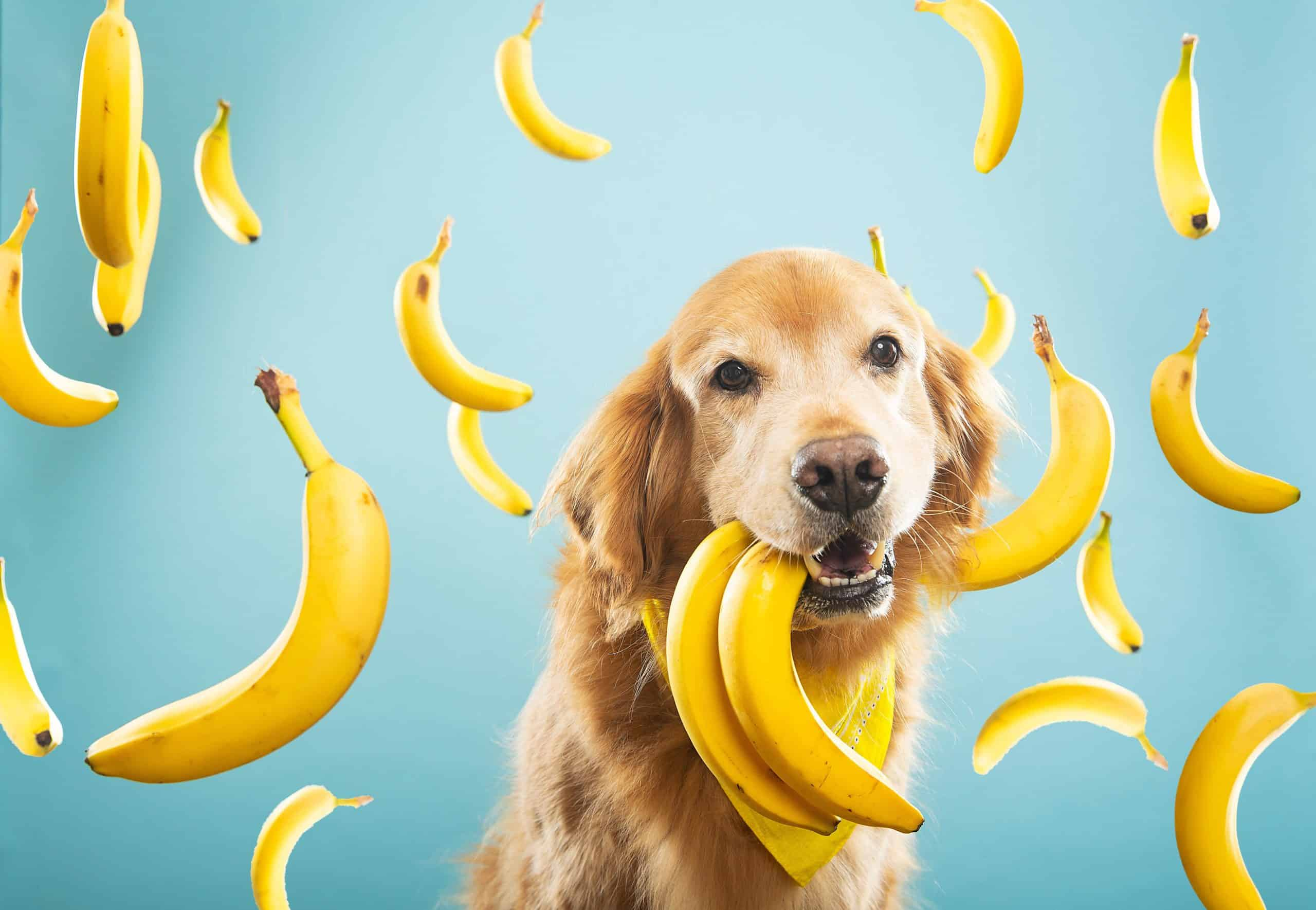 Photo illustration of Golden Retriever with bananas. Feed your dog bananas to improve sleep, digestive health, skin, kidney function, heart health and more. Just remember to throw away the peel.