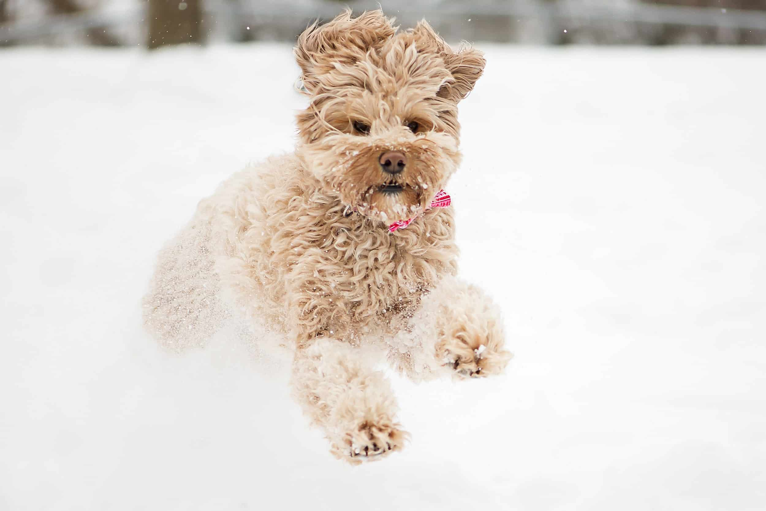 Labradoodle runs in the snow.