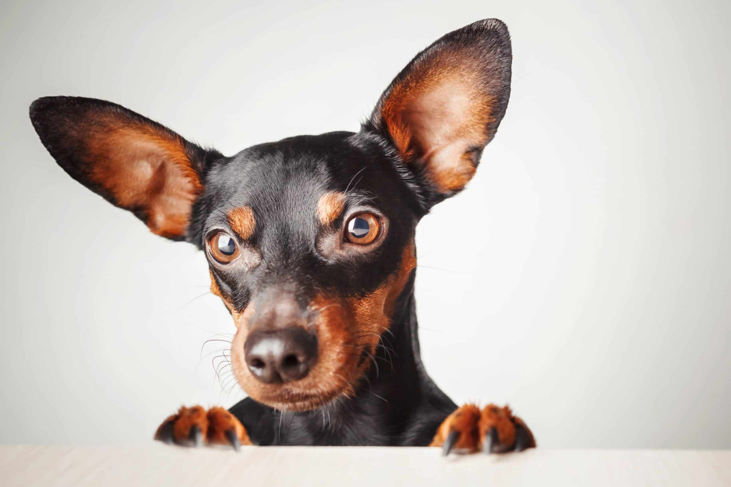 Miniature pinscher on white background. Feeding your miniature pinscher: Choaose small bite food to suit your dog's mouth, healthy snacks, and a digestive aid.
