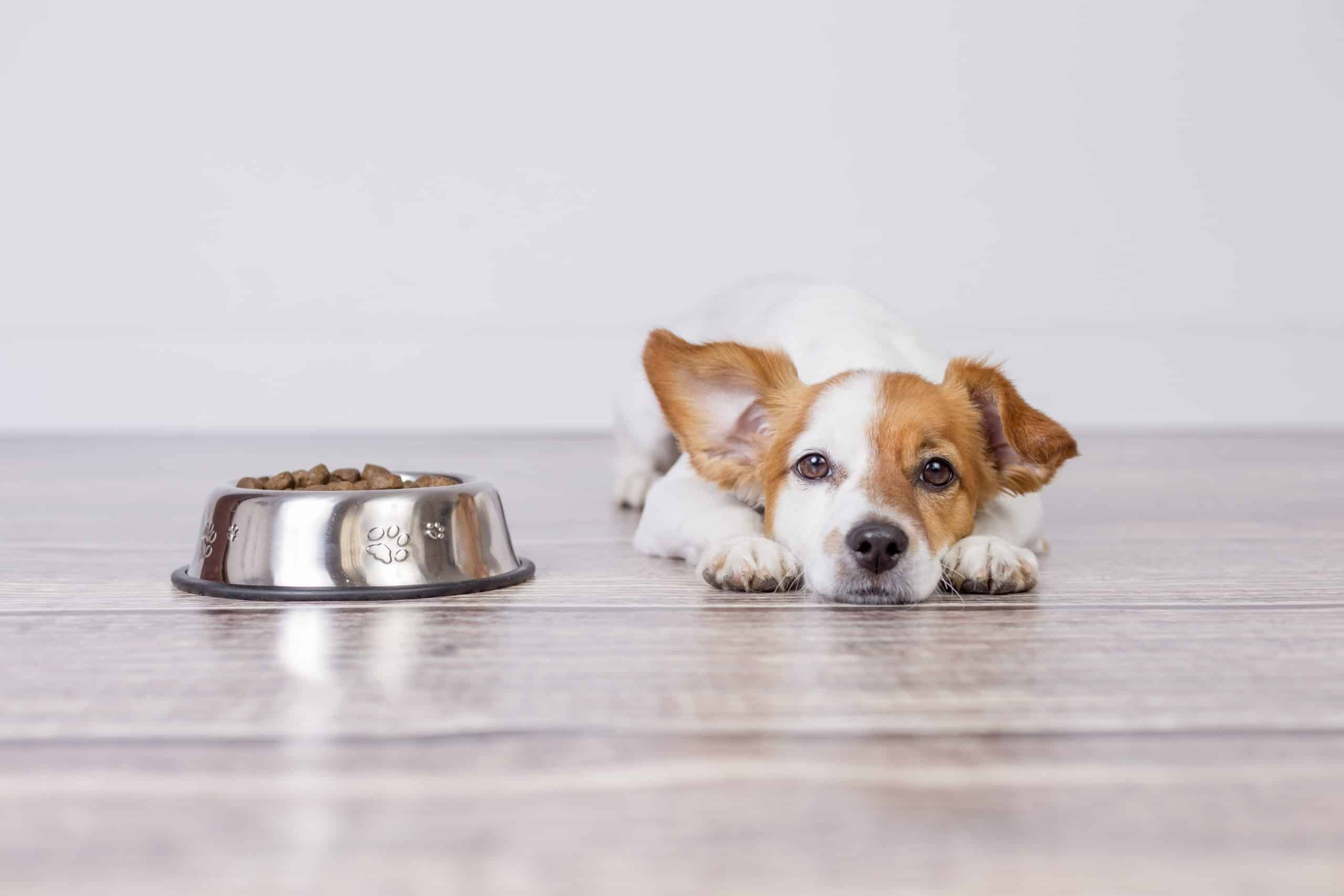 Jack Russell terrier lies by his food bowl.