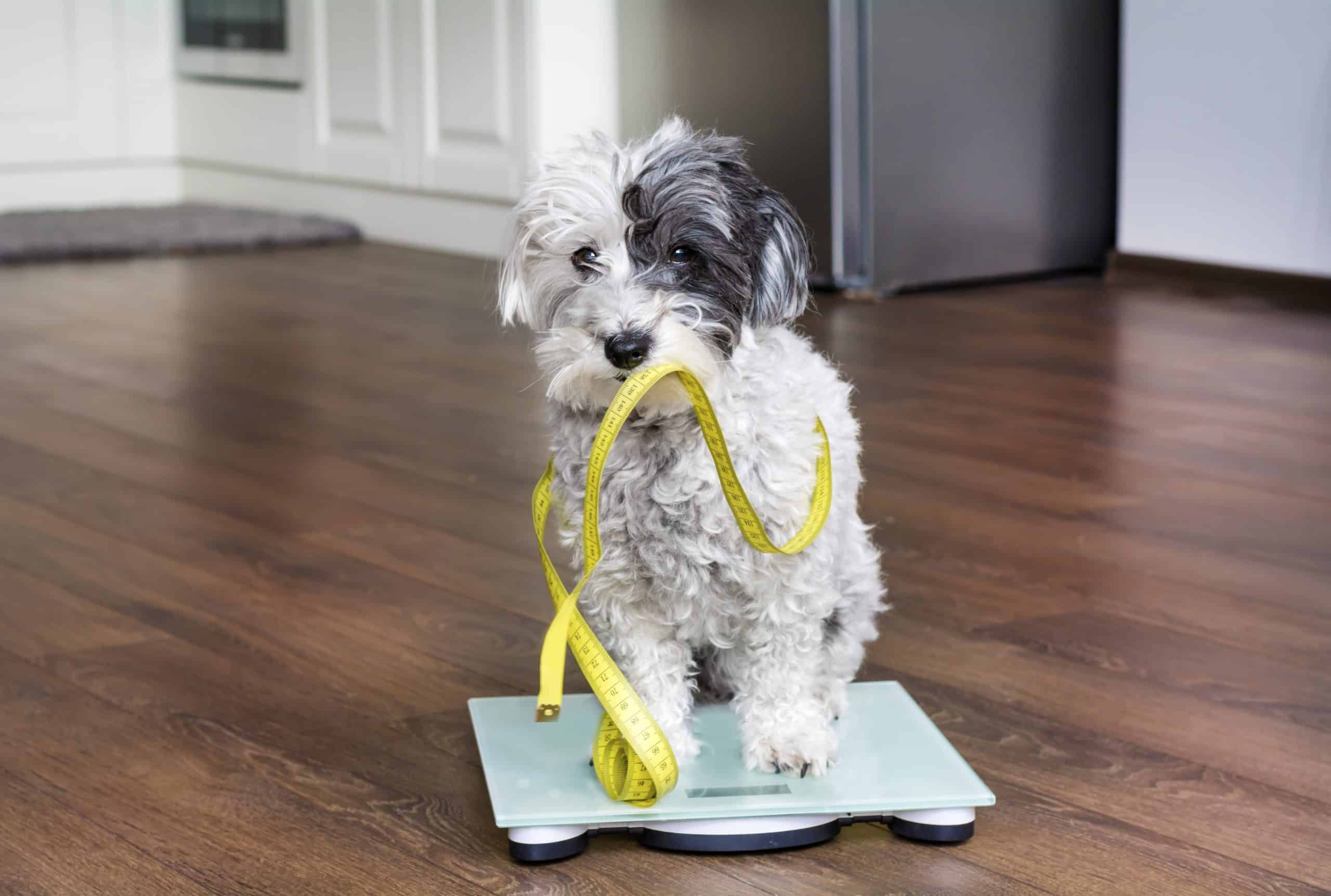 Poodle sits on a scale. Studies show pets' pandemic weight gain fueled by too many treats and not enough exercise.