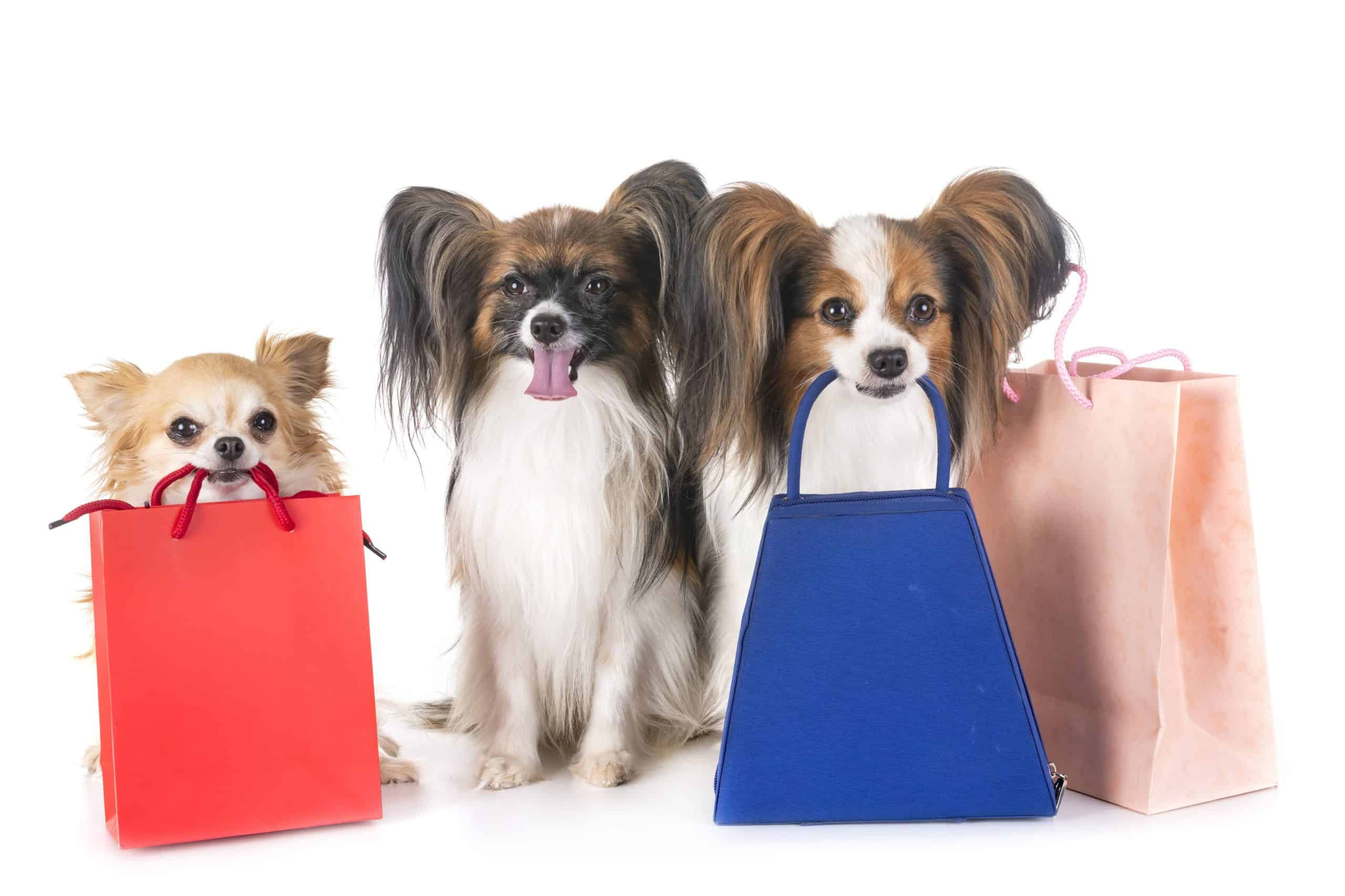 Chihuahua and Papillions sit with shopping bags. When shopping for your furry buddy select a pet boutique that curates its collection, understands pets, and offers a convenient refund policy.