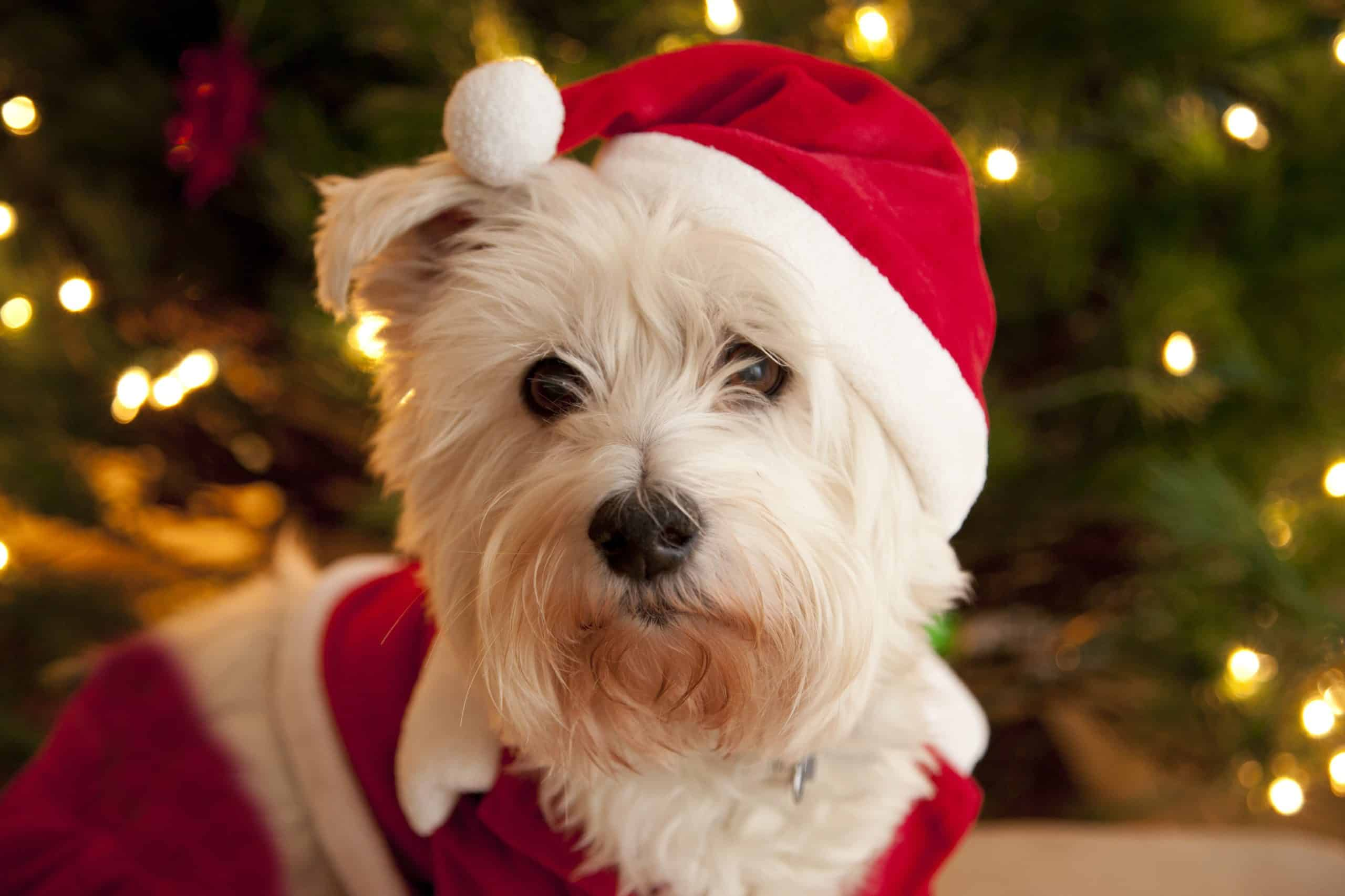Cute terrier wears a Santa outfit. When traveling with your dog, it's helpful to pack some of their home comforts to keep your pup calm, compliant, and happy.