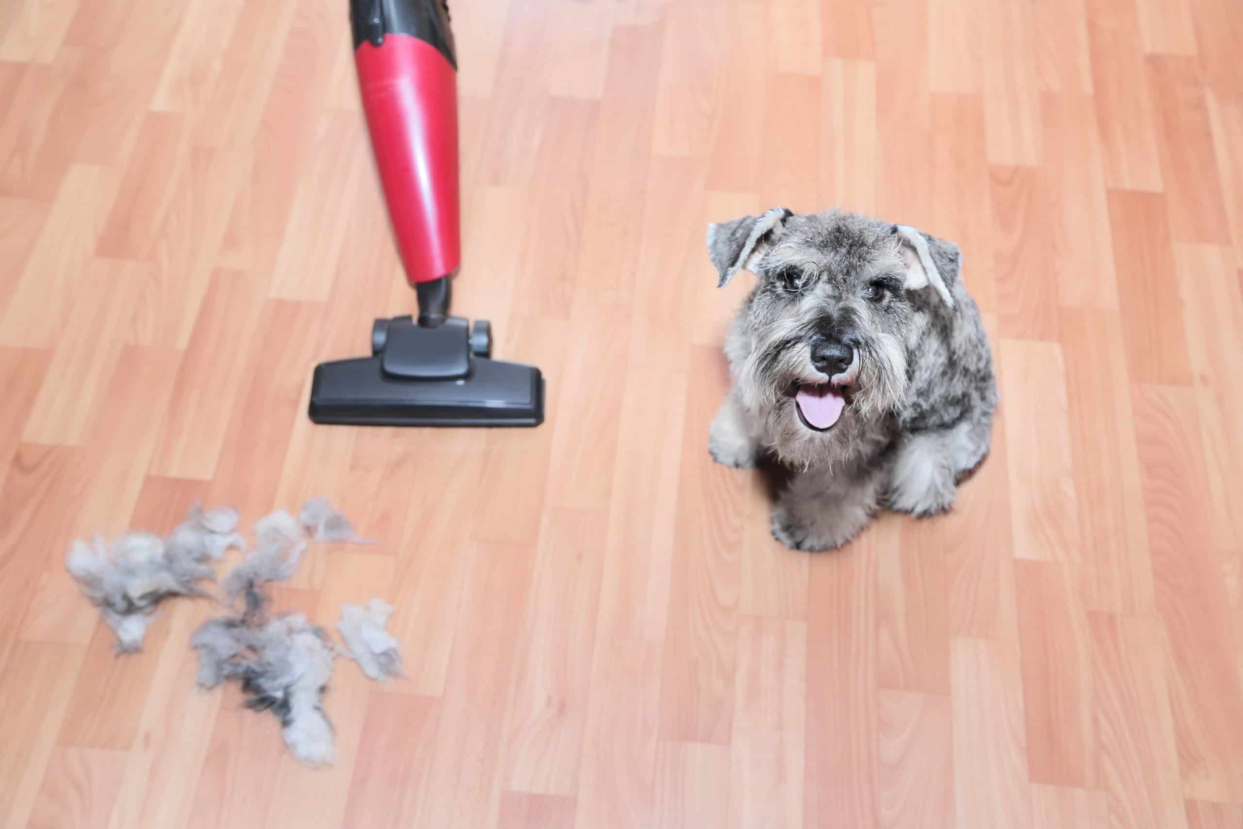 Cute little gray dog sits near vacuum cleaner and pile of loose dog hair. Vacuum your dog to reduce dog shedding.