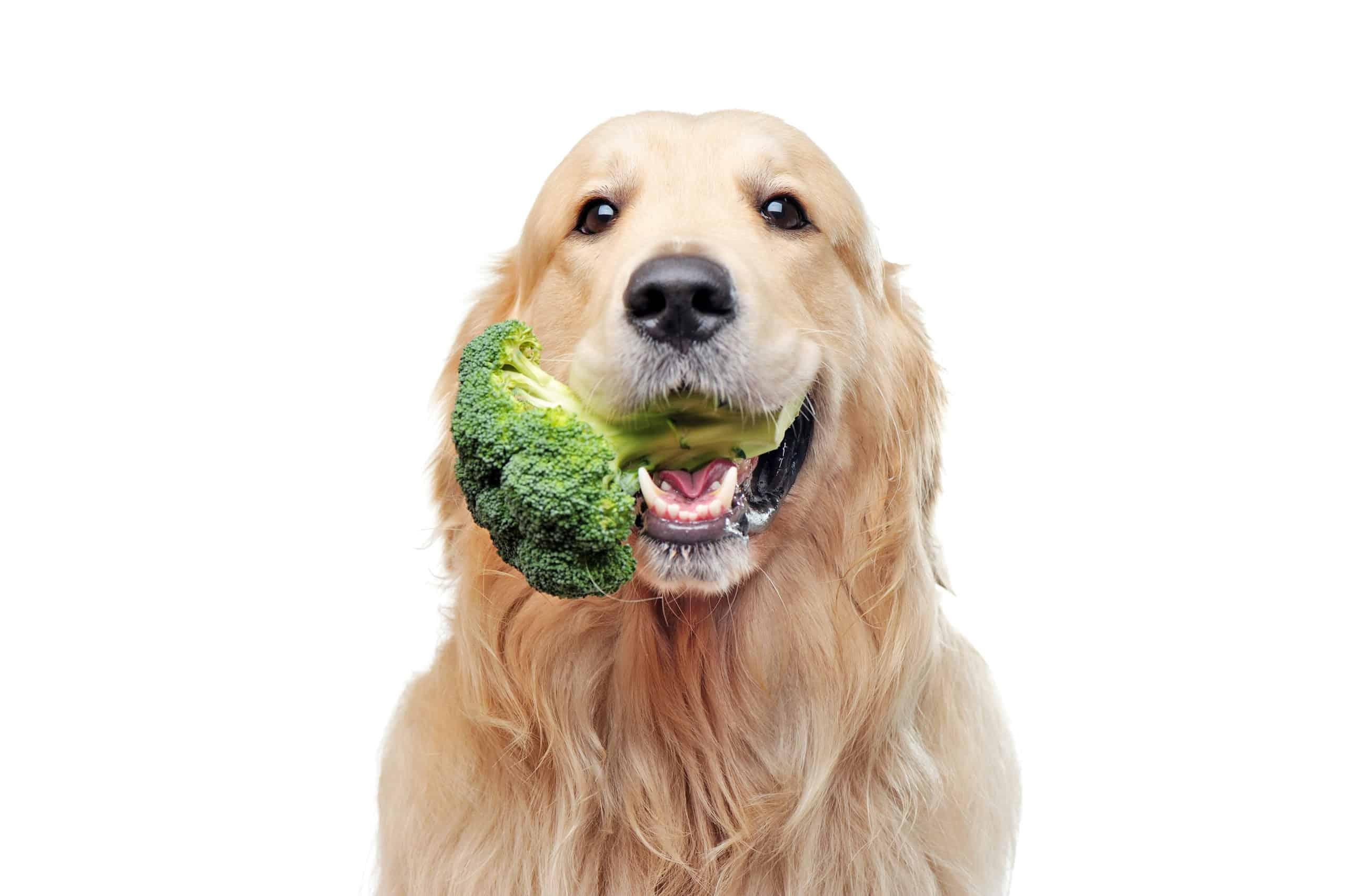 Golden retriever eats broccoli.