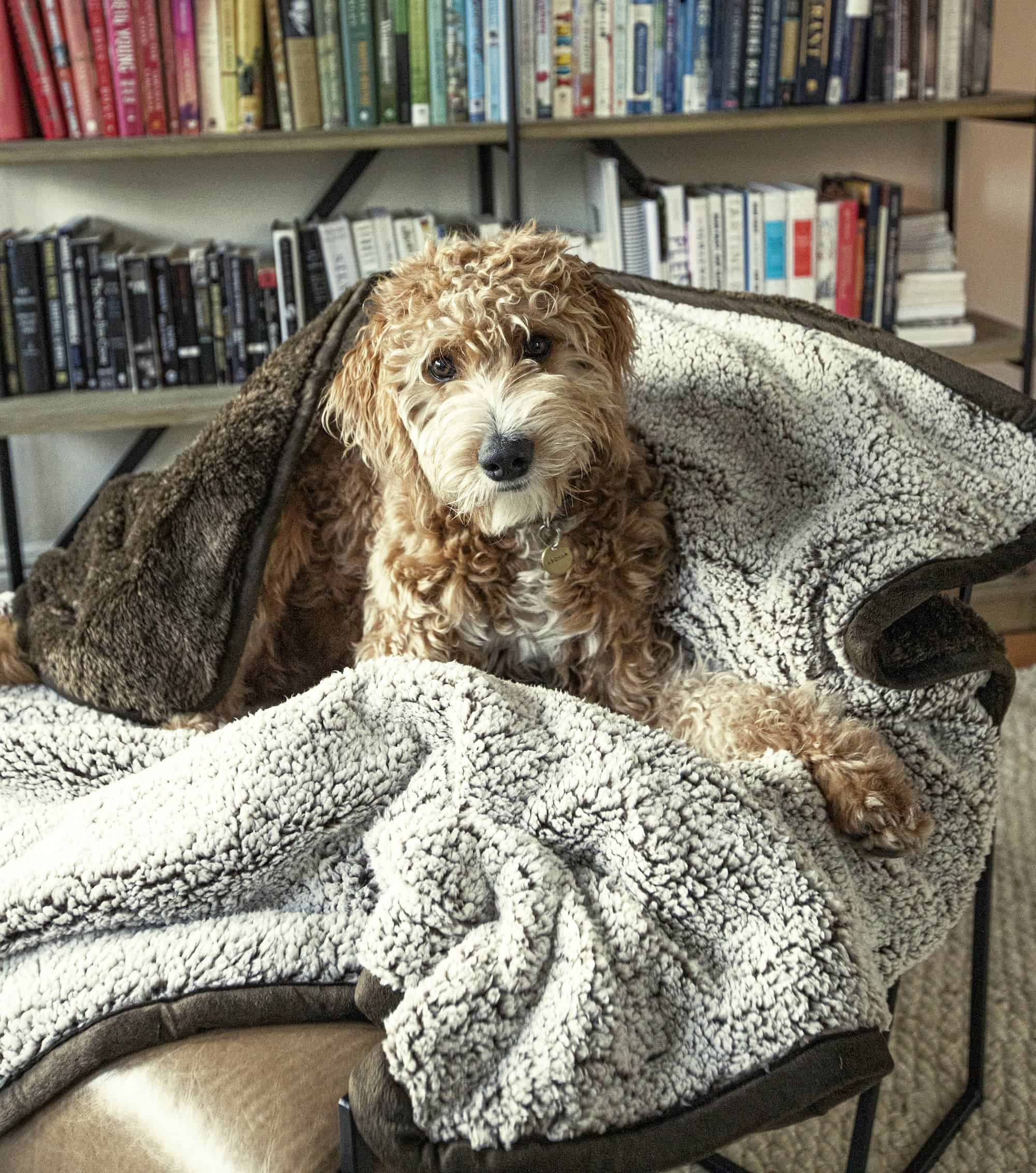 Goldendoodle sits on a Pet Parents® Pawtect™ Blanket, which is designed to help dogs experiencing canine incontinence.