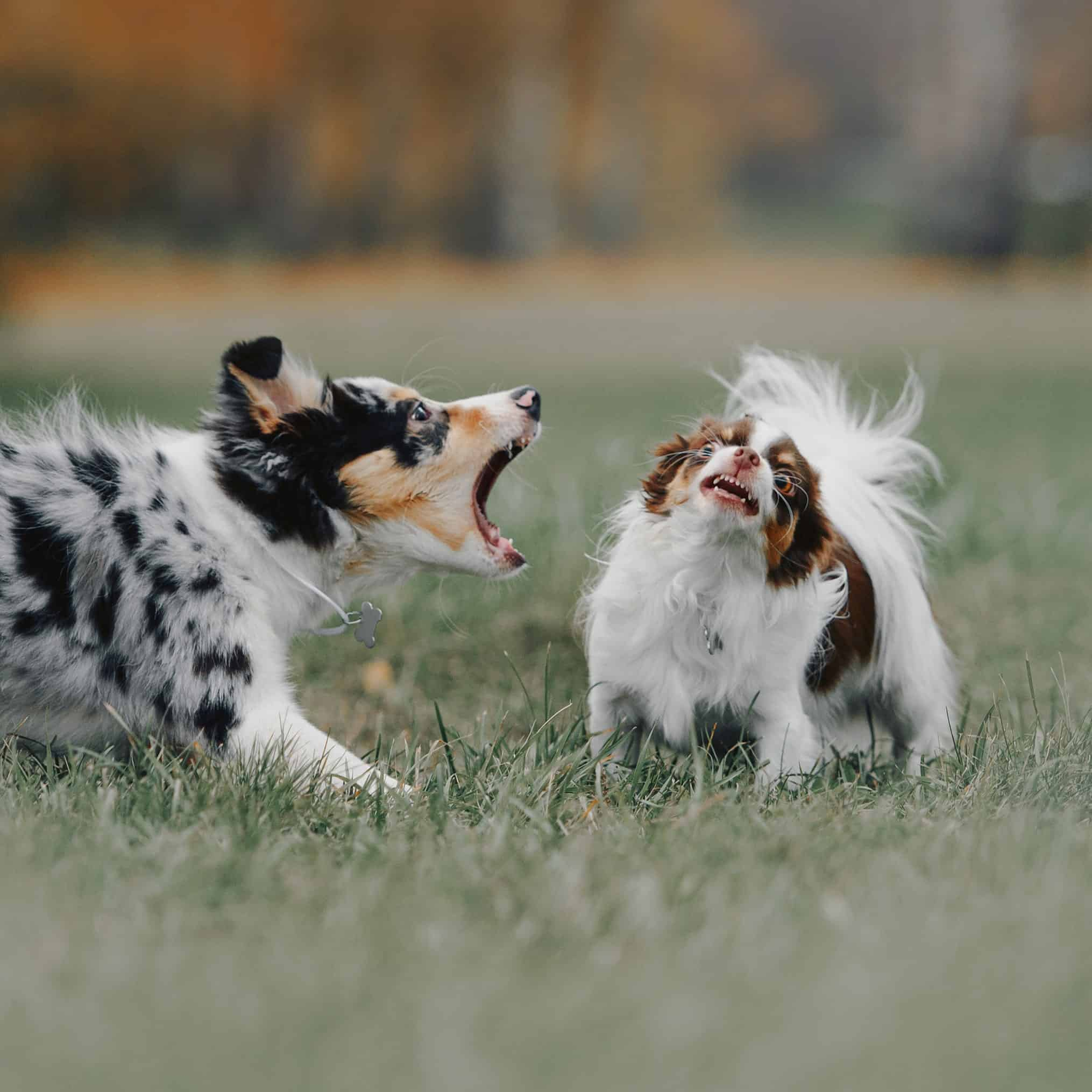 Aggressive Australian Shepherd puppy barks at a smaller dog. Often puppy fear can become puppy aggression. Positive reinforcement, punishment-free obedience training is one way to create a well-behaved, well-mannered dog and prevent fear aggression in puppies.