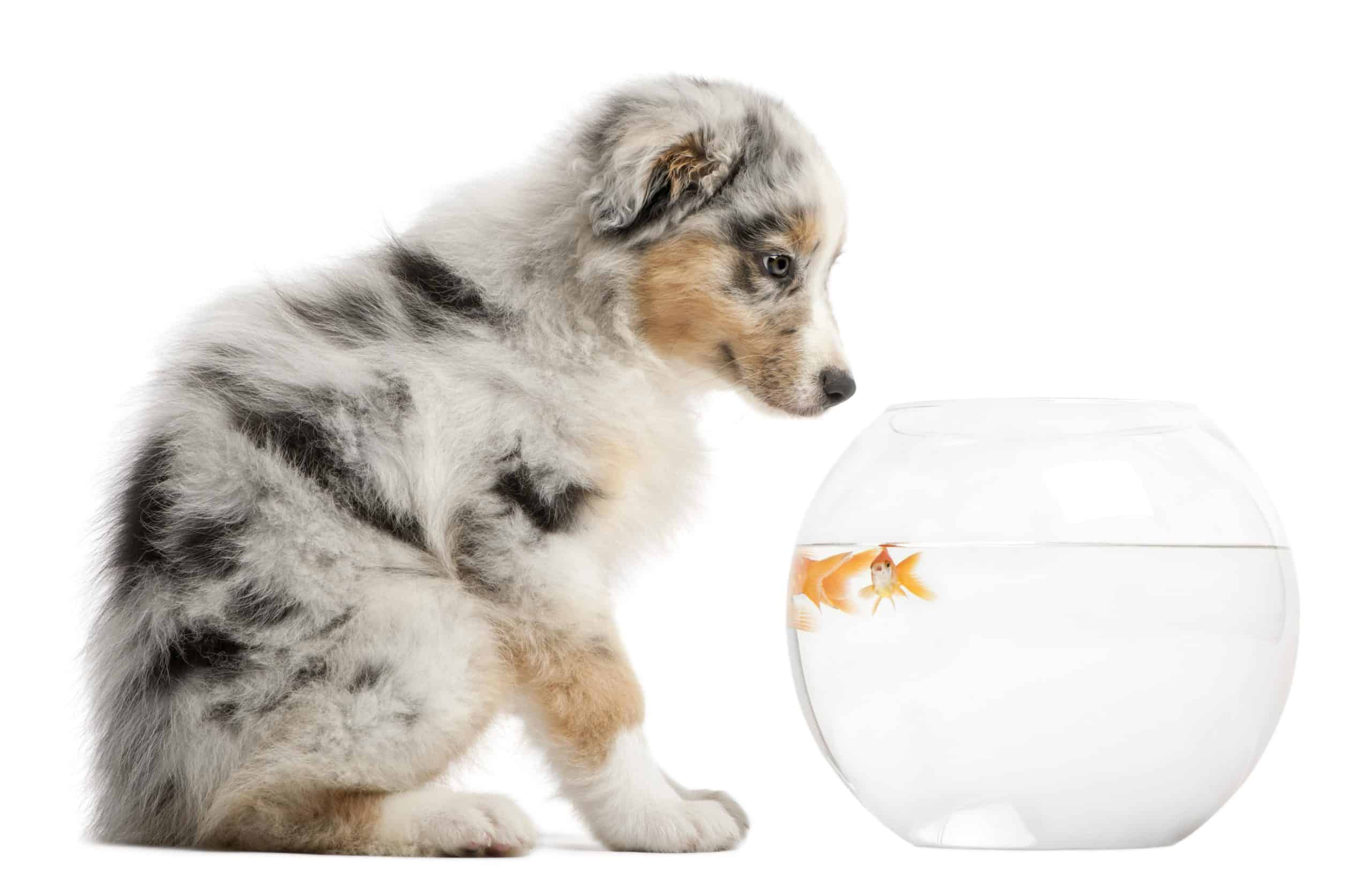 Australian puppy looks at goldfish in a bowl. Put your aquarium in a room where your dog doesn't go or set up a motion sensor-controlled alarm system to keep your pup away from the tank.