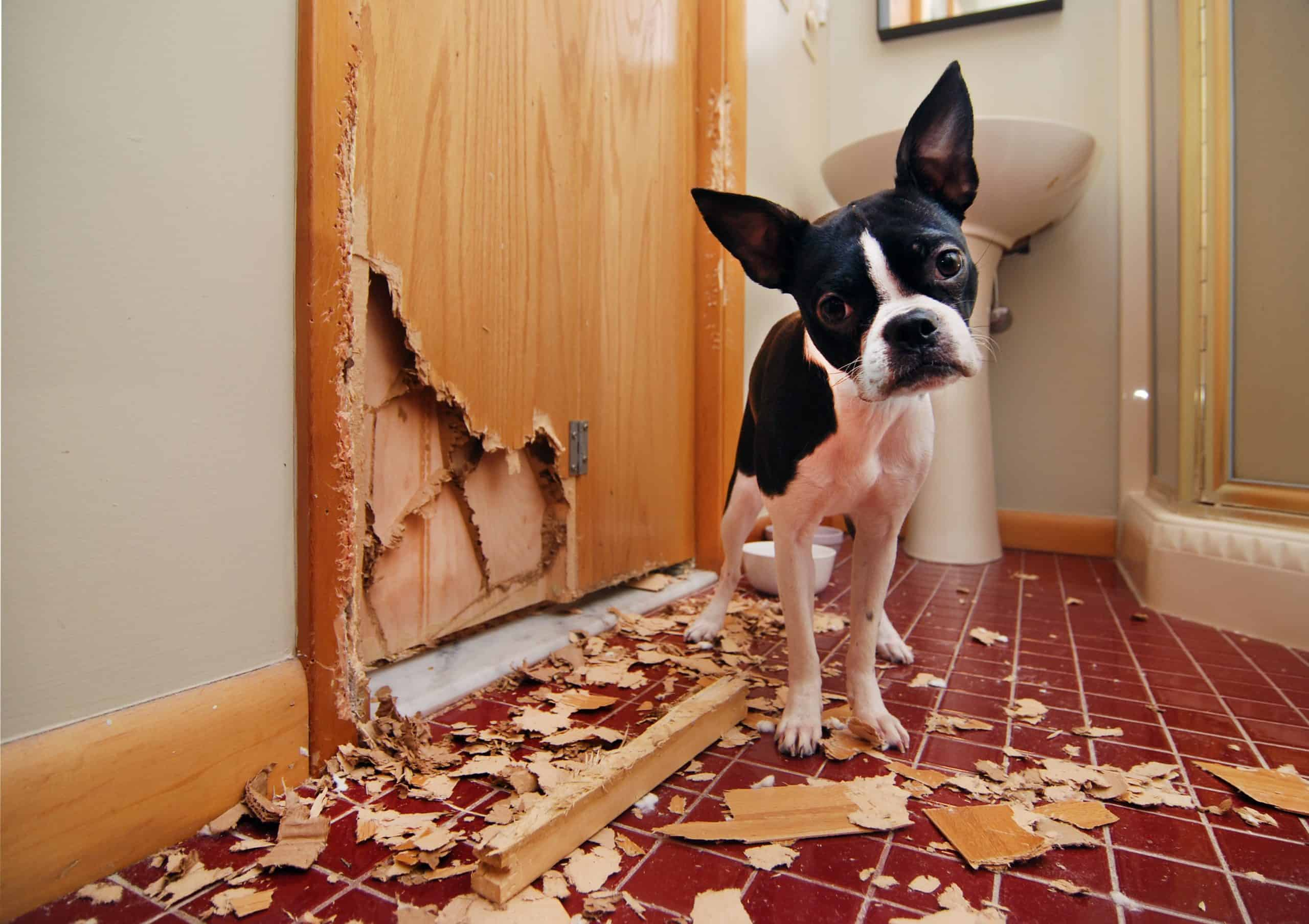 Boston terrier chews door. Don't let your dog's chewing become obsessive or destructive.