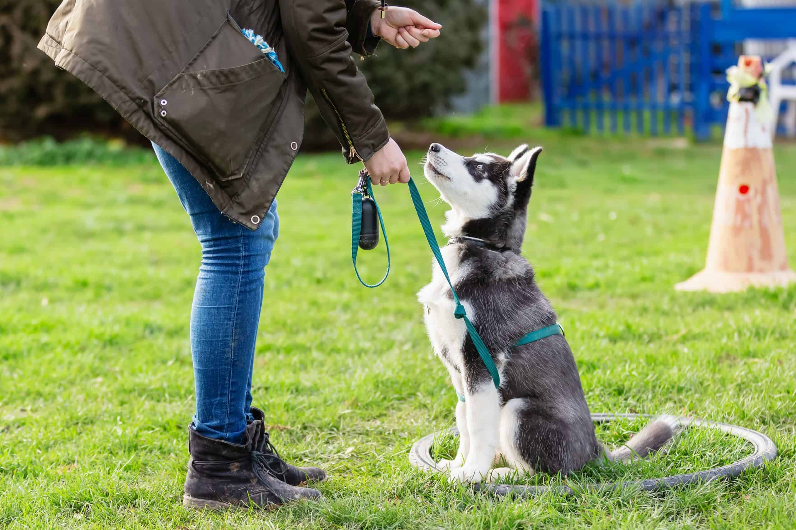 Owner trains Husky puppy. If your pet displays dog behavior issues like chewing, barking, or aggression, curbing those problems isn't punishment. Use positive reinforcement training to teach your dog how to behave.