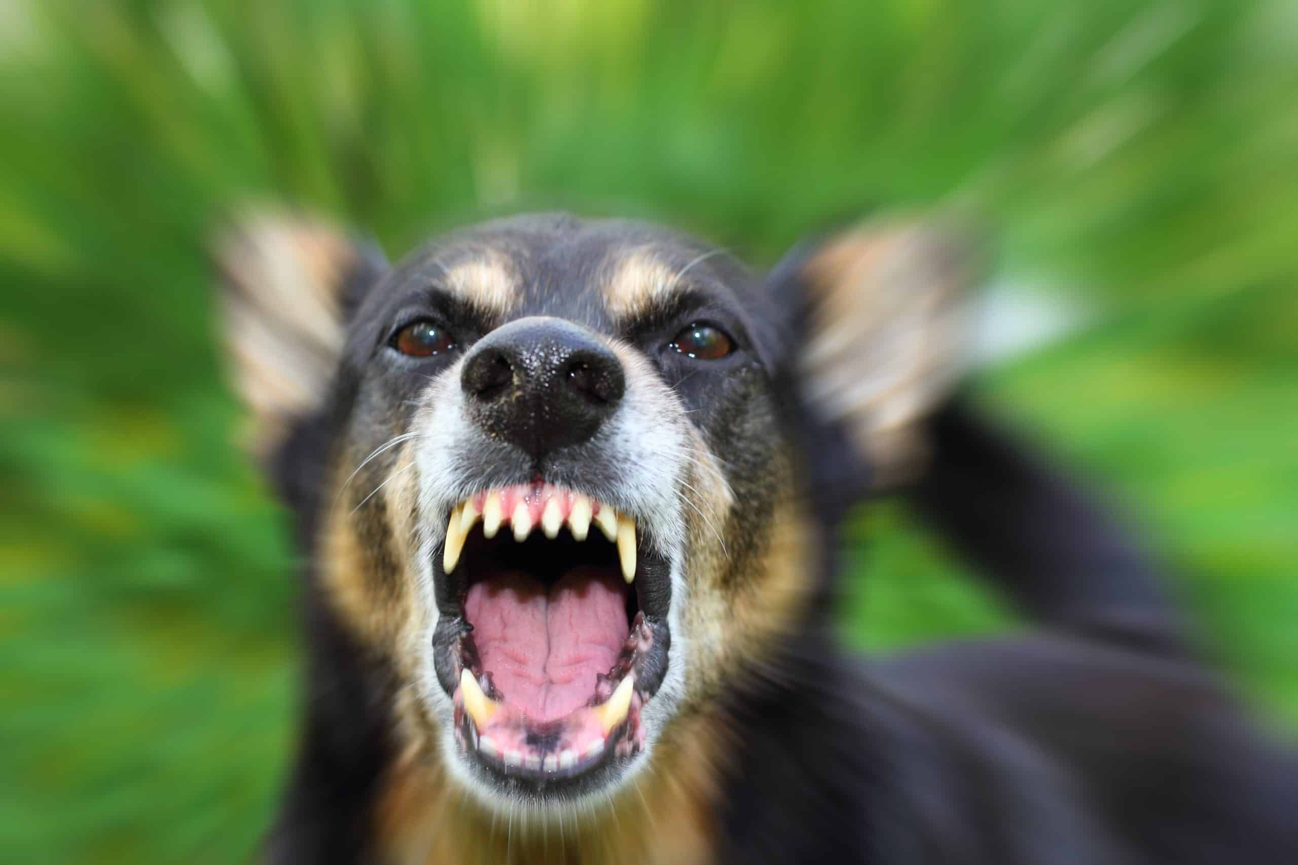 Photo illustration of an aggressive dog. When a dog becomes aggressive, one of the first things you'll notice is that they become very still and rigid. They may also growl, snarl, show their teeth, lunge, or bite.