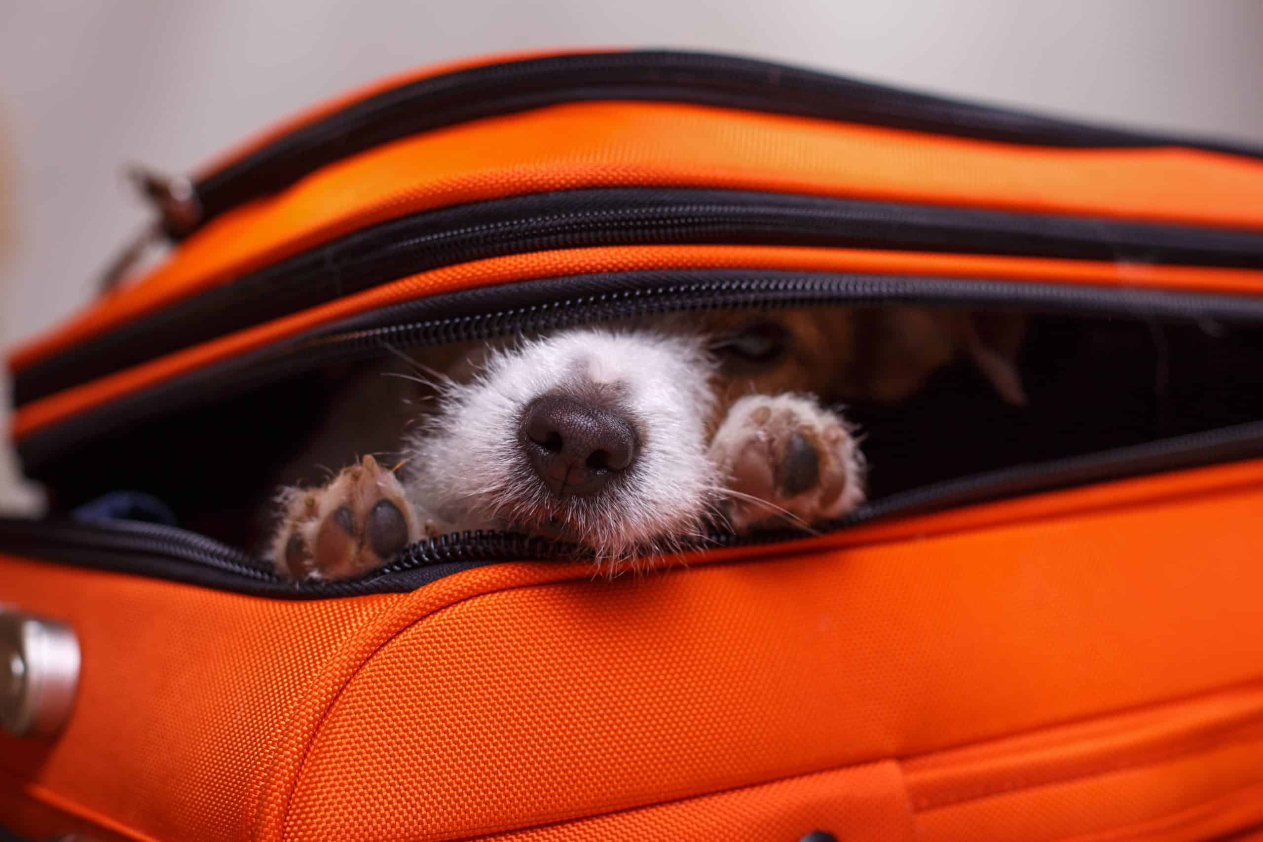 Dog peeks out from open suitcase. Don't leave your pet behind. Bring him along on a dog-friendly holiday.