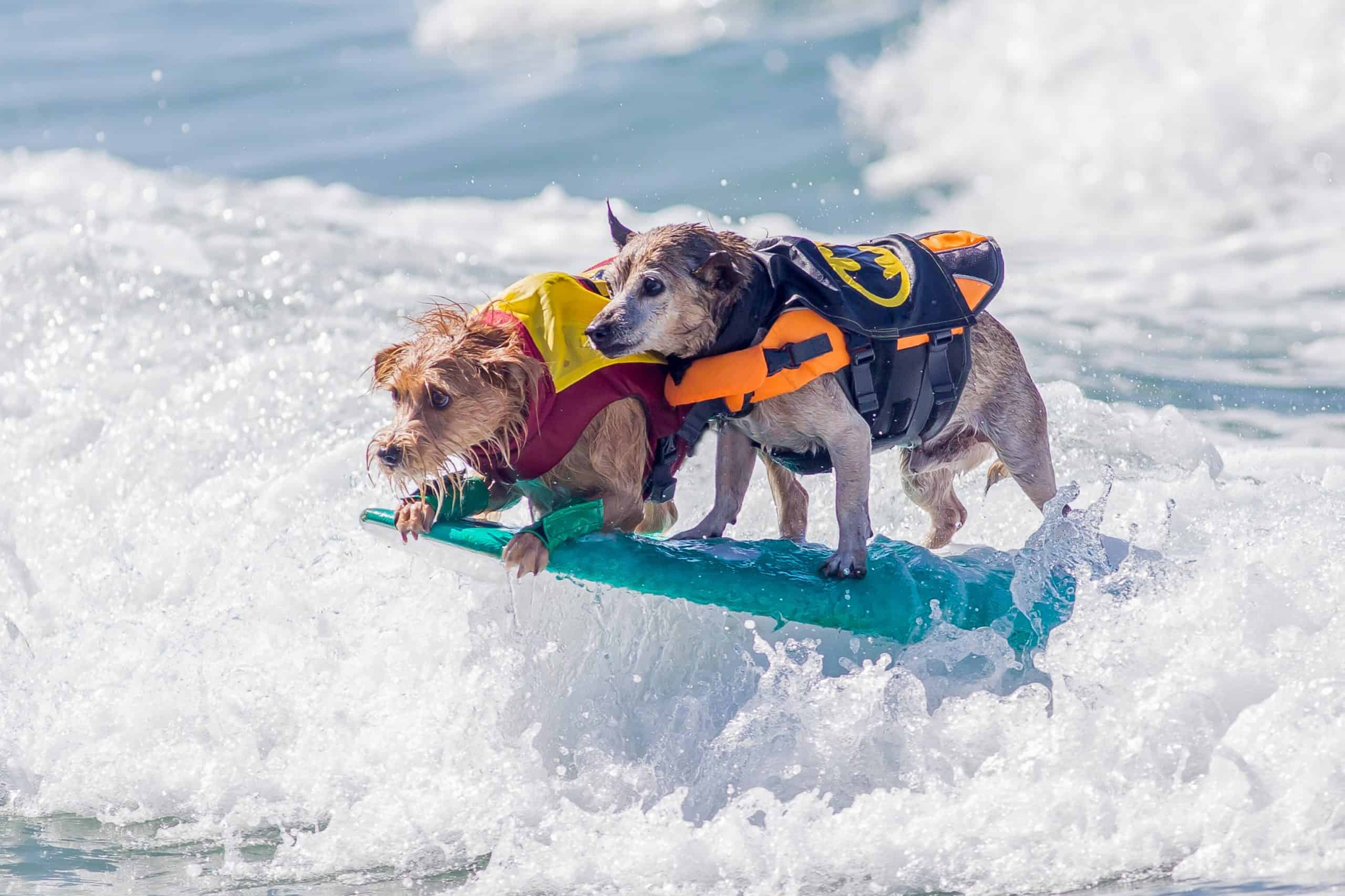 Two dogs ride the waves on a surfboard.