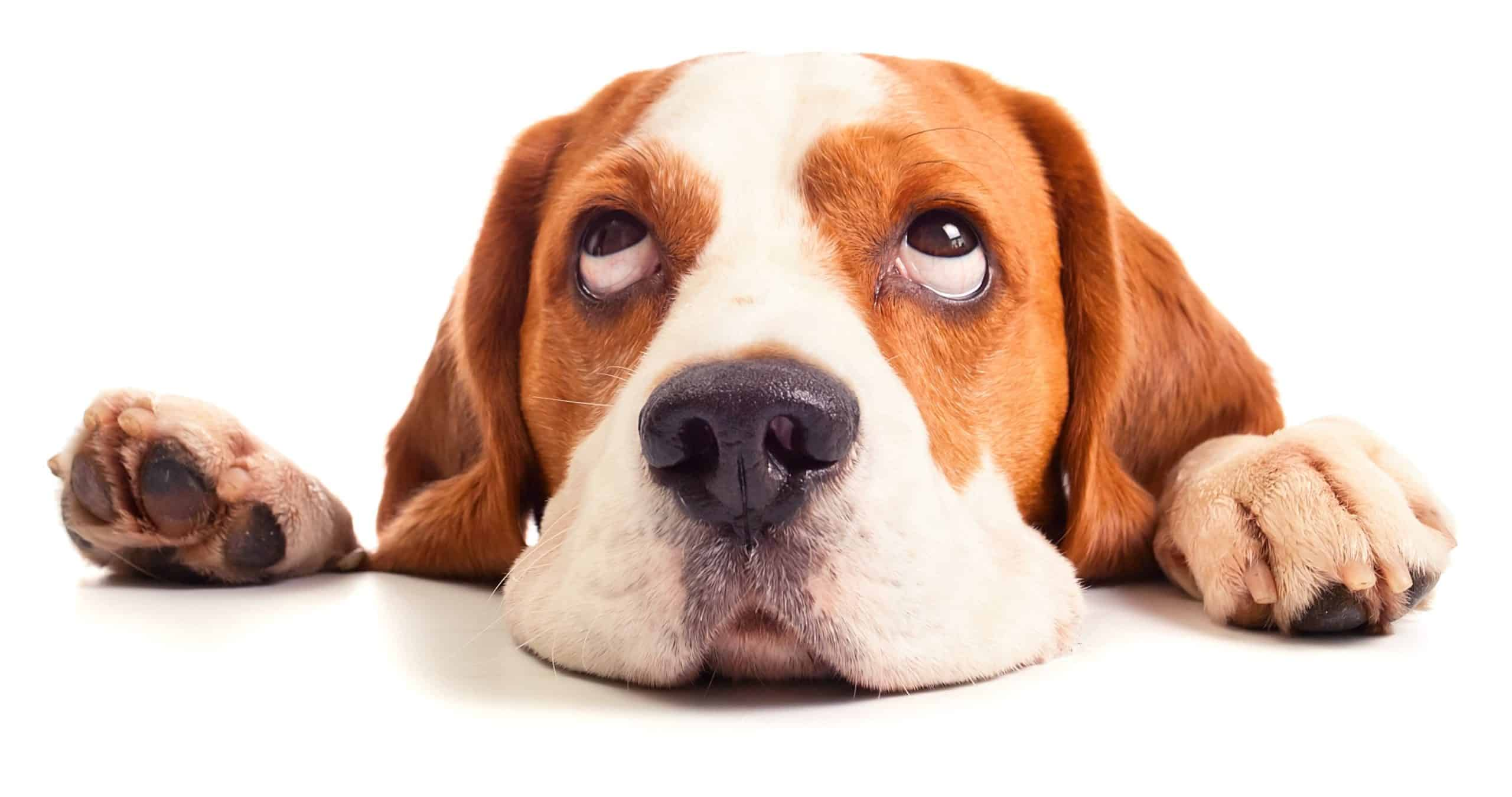 Beagle with big eyes. If you have an epileptic dog, reduce risks at home that could injure your dog during a seizure.