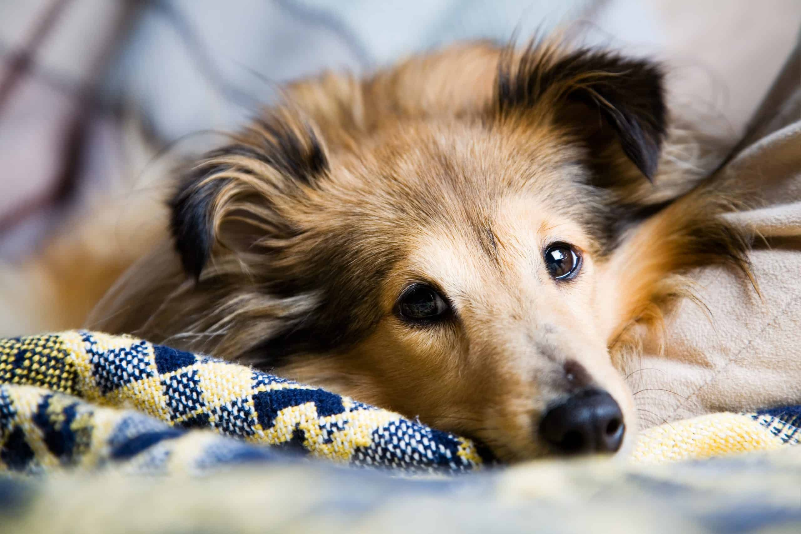 Sheltie dog snuggles into covers. If you have an epileptic dog, create a plan to help calm your dog during a seizure.