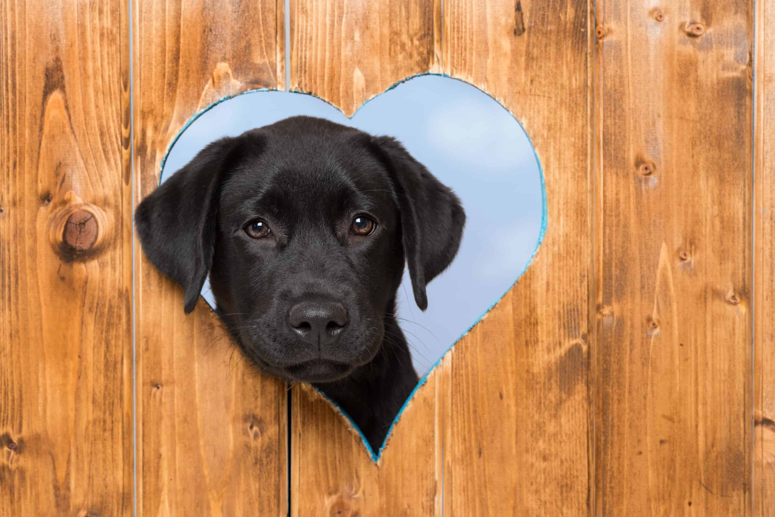 Black Labrador puppy peeks out through heart-shaped opening in fence.