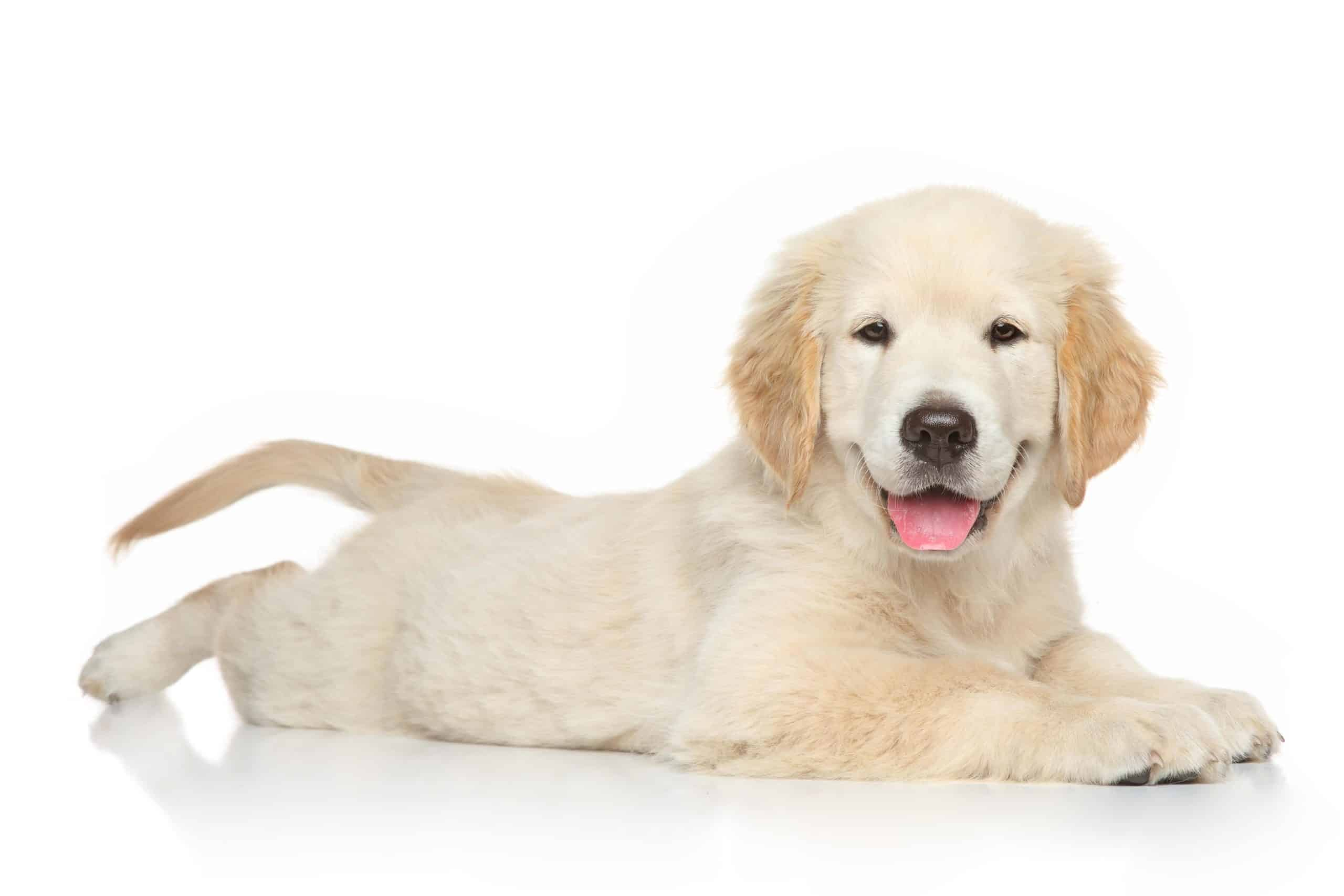 Cute, happy Golden Retriever puppy on white background.