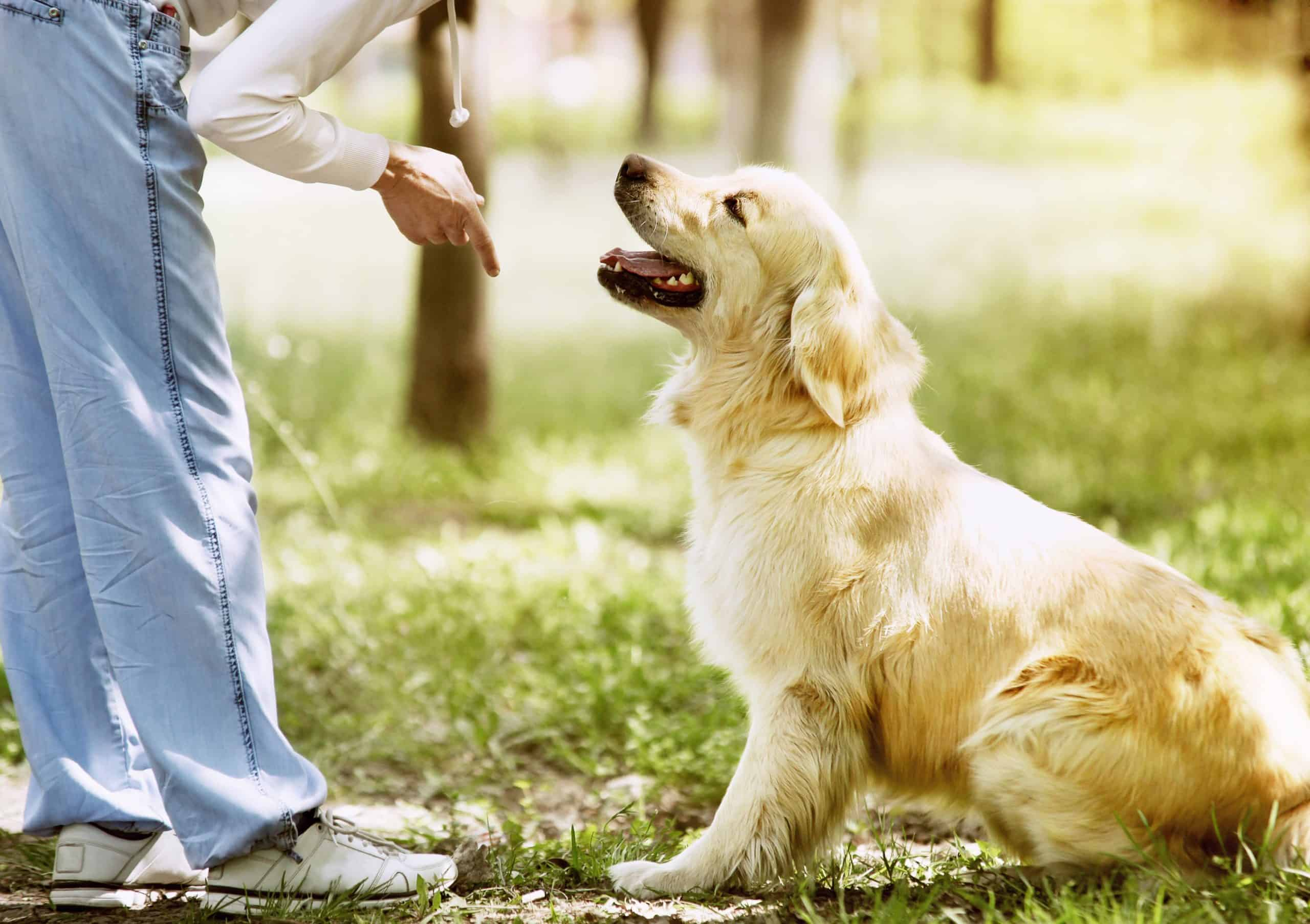 Woman works to teach a Golden Retriever puppy to sit. For successful Golden Retriever training, incorporate training daily using short, fun exercises and lots of healthy treats.