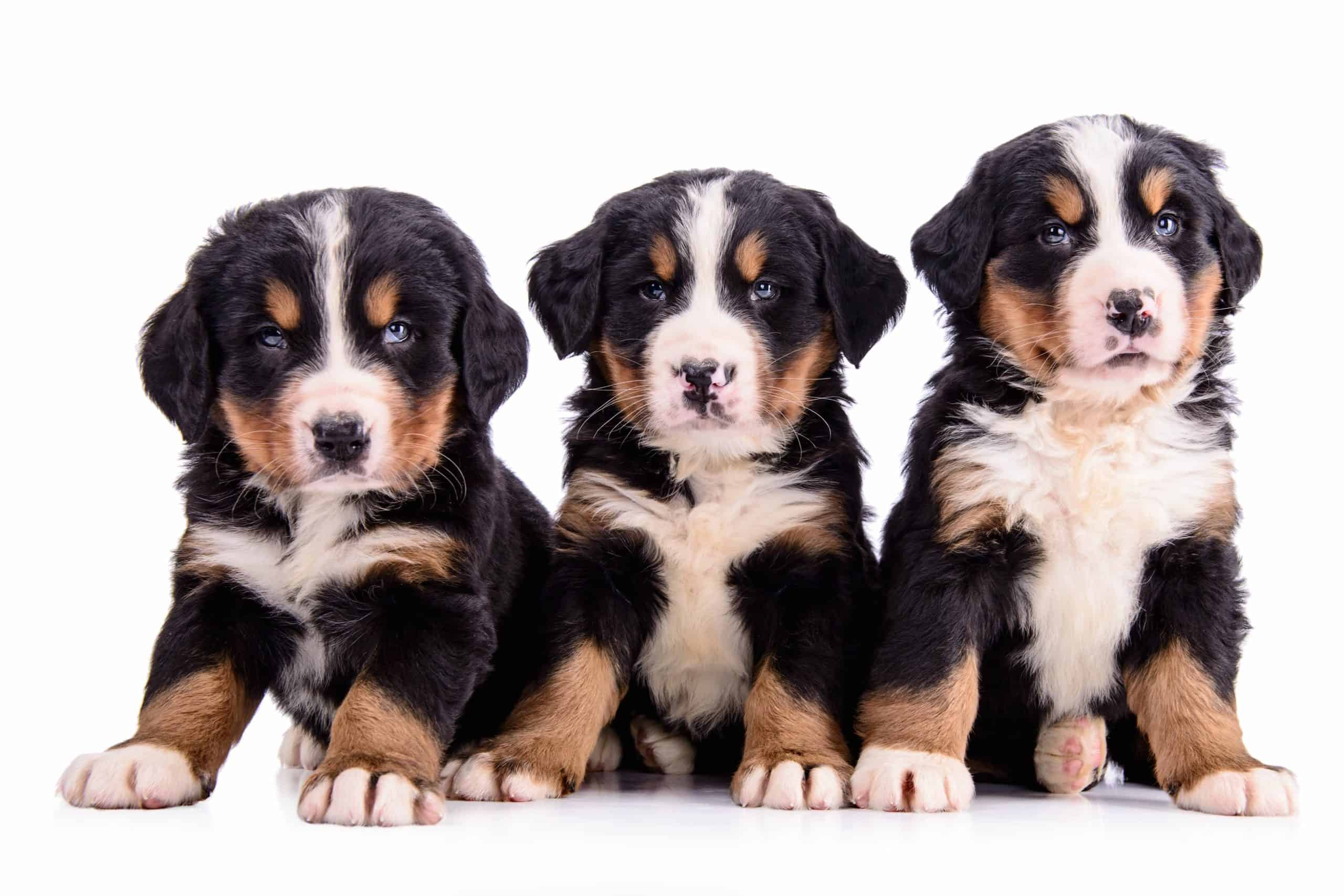 Trio of Bernese Mountain Dog puppies. Larger dogs weigh more than small ones, and so they need beds that offer the right support to their joints, cushioning for their muscles, and should be durable to their bite.
