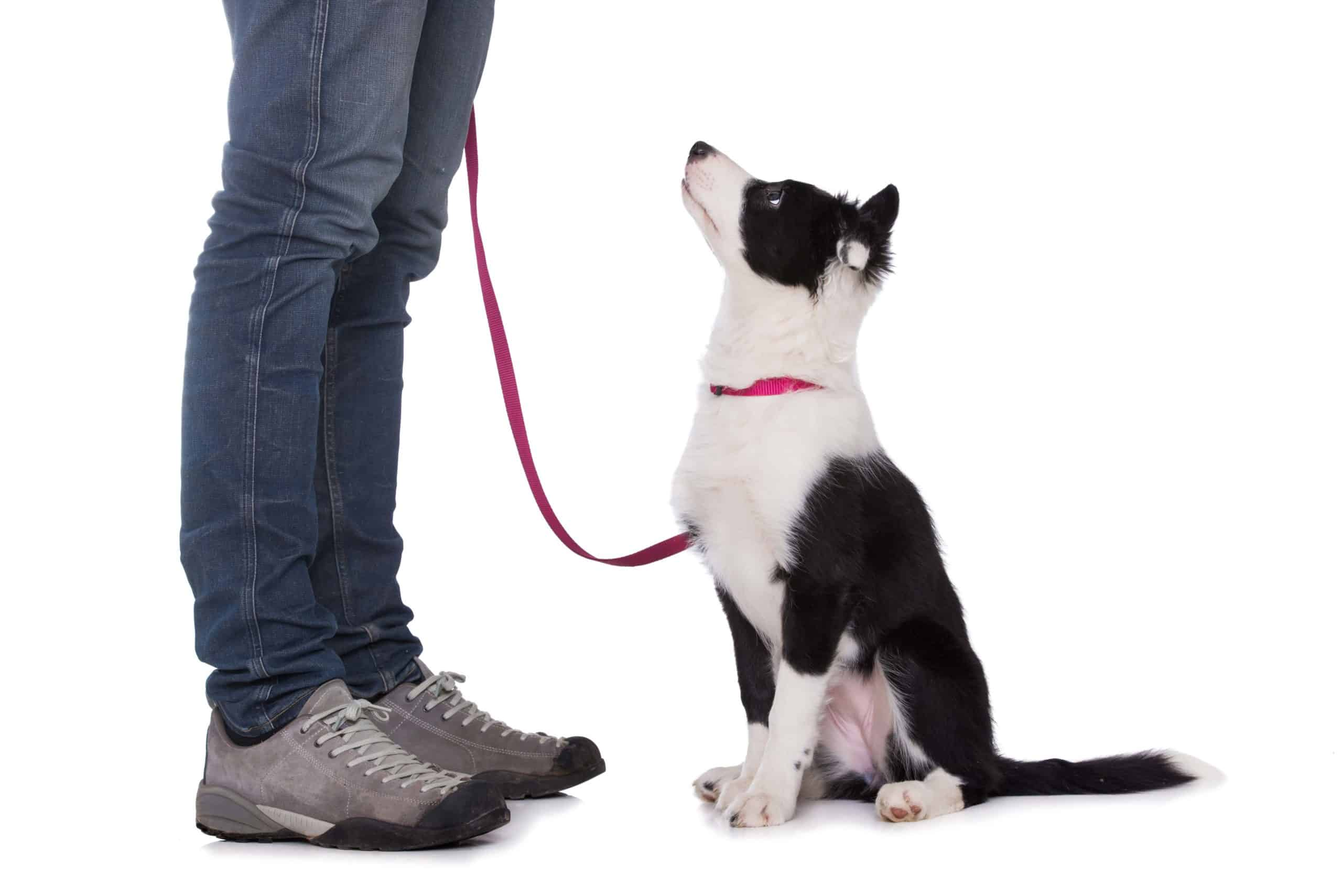 Dog owner trains border collie puppy. Make dog training easier by working in a quiet spot without distractions for you or your pup.