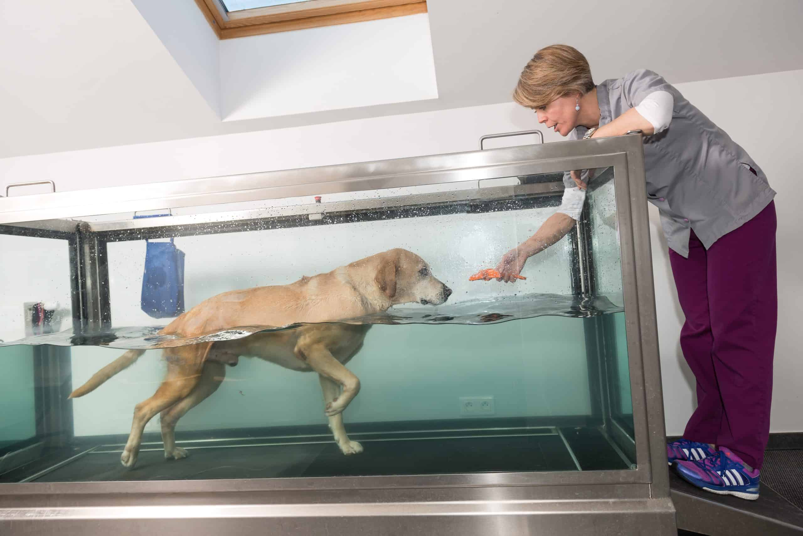 Therapist uses hydrotherapy to help Labrador retriever recover. Reports and studies show that when carried out correctly by an experienced and certified canine rehabilitation specialist, the post-surgery care for dogs process can have a lot of positive effects.
