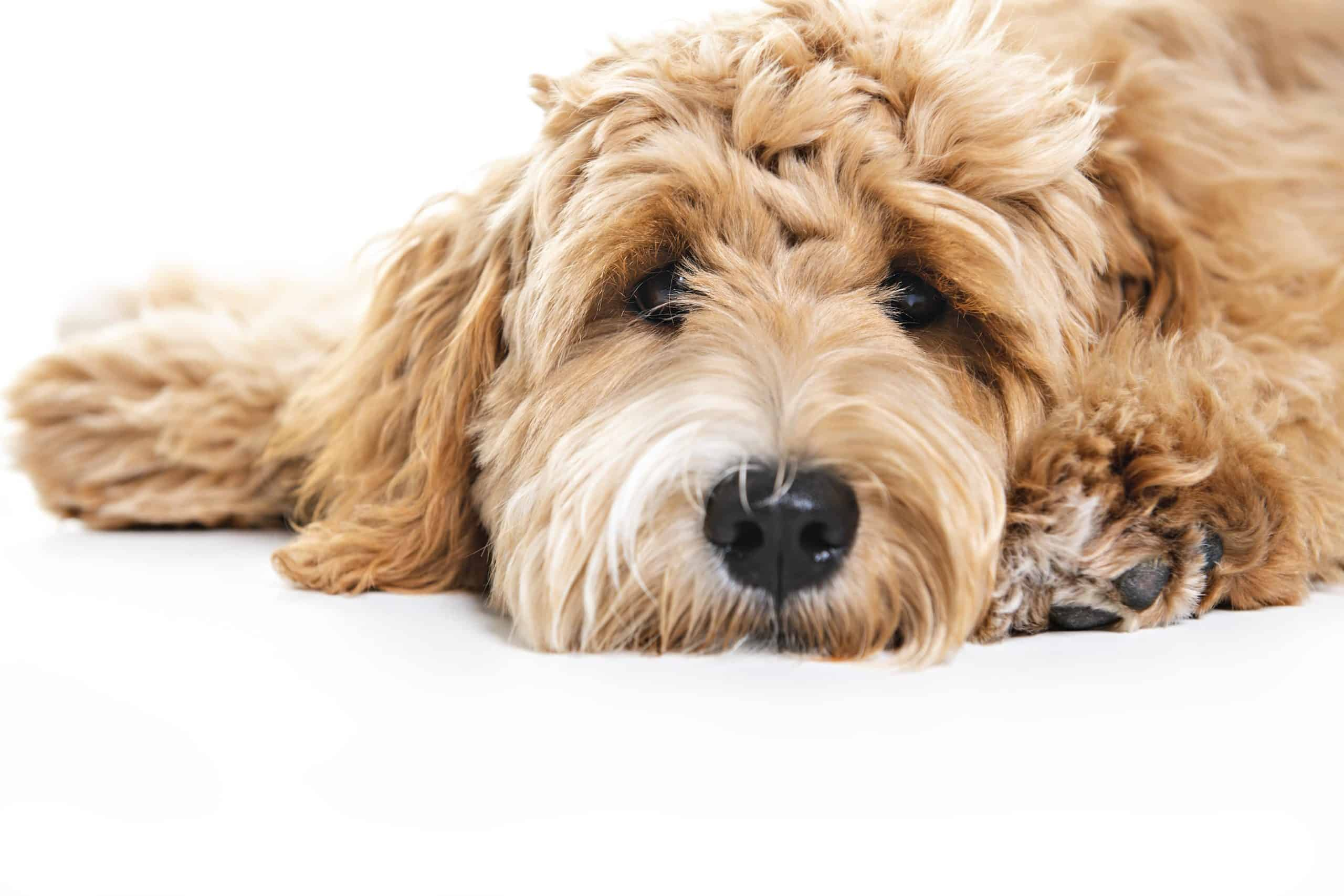 Goldendoodle puppy on white background. Before you welcome a new member of the family, take time to consider whether you are ready for a puppy.