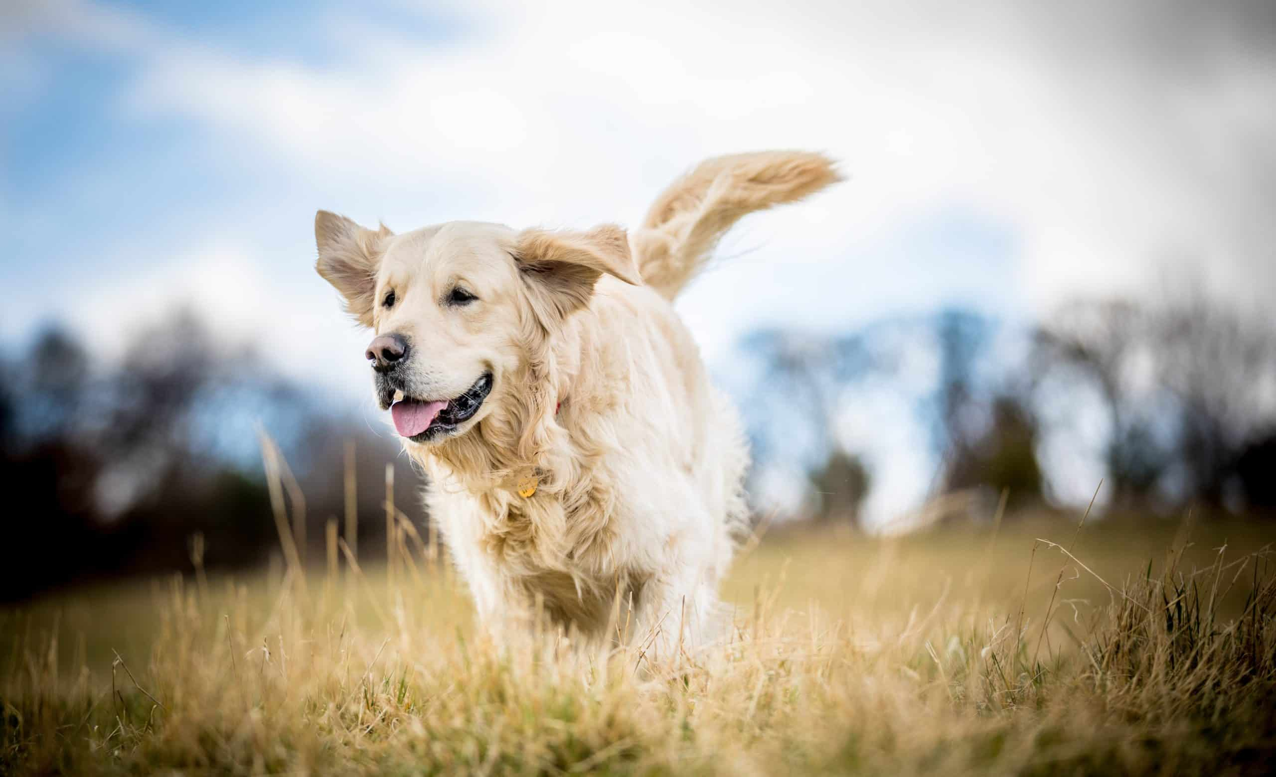 Golden retriever runs outside. Golden retrievers are excellent at scaring away wild animals like squirrels, rats, skunks, raccoons, and other nuisance animals.