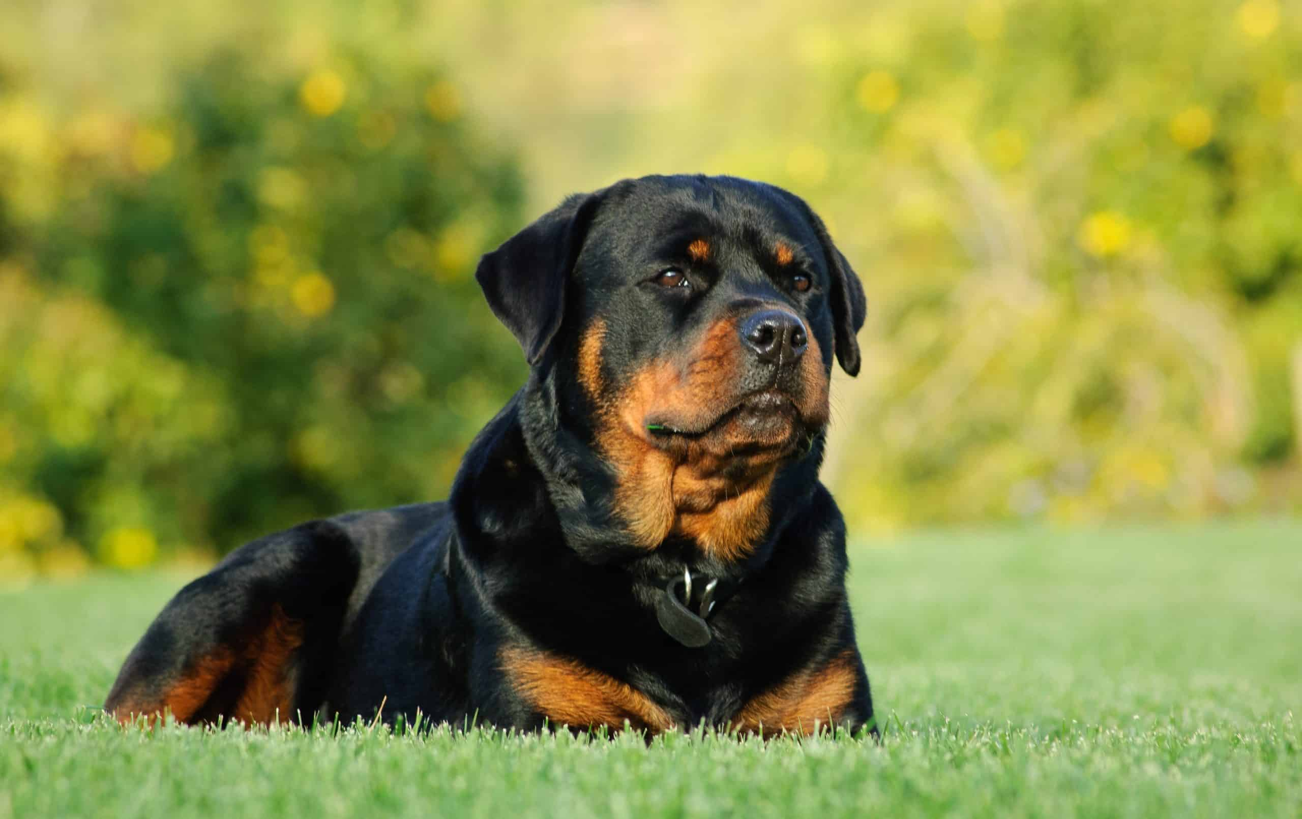 Rottweilers are excellent at scaring away wildlife, especially if you live in an area where mountain lions or wolves are present.