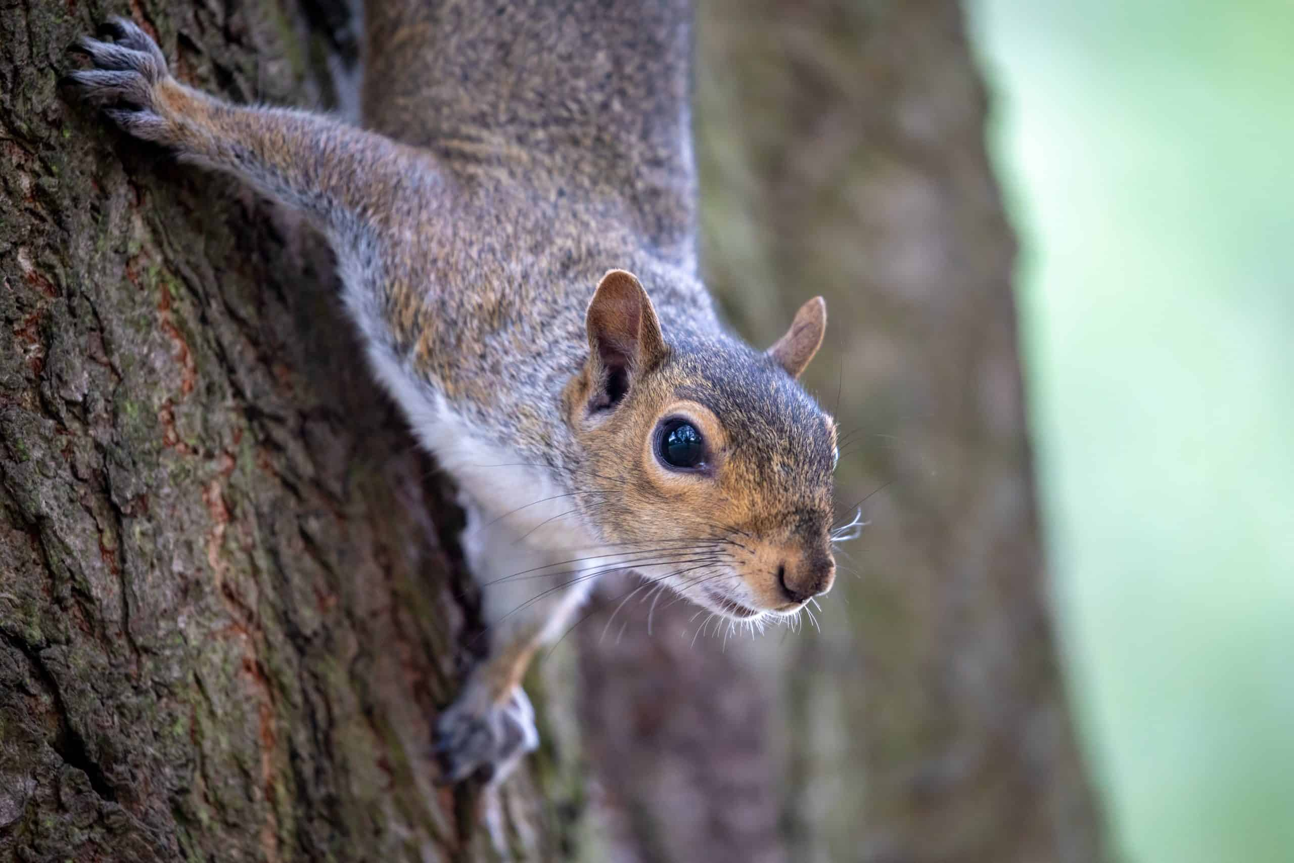 Gray squirrel on a tree. Dogs are great at scaring away wildlife and can help keep small nuisance animals like squirrels, rabbits, and rats away from your home.