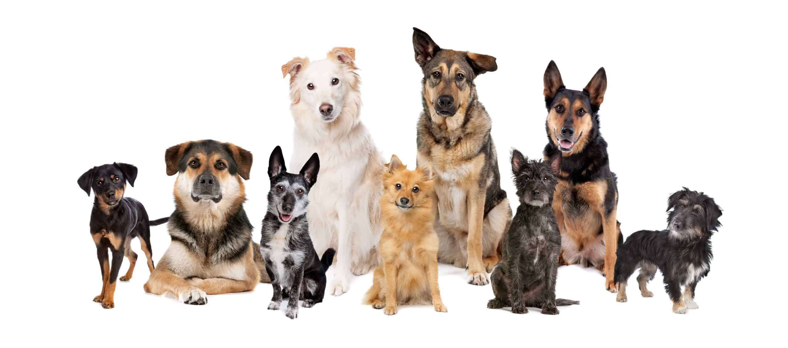 Collection of dog breeds. DNA testing for dogs can help you learn basic information about your dog's breed and whether he's a purebred.