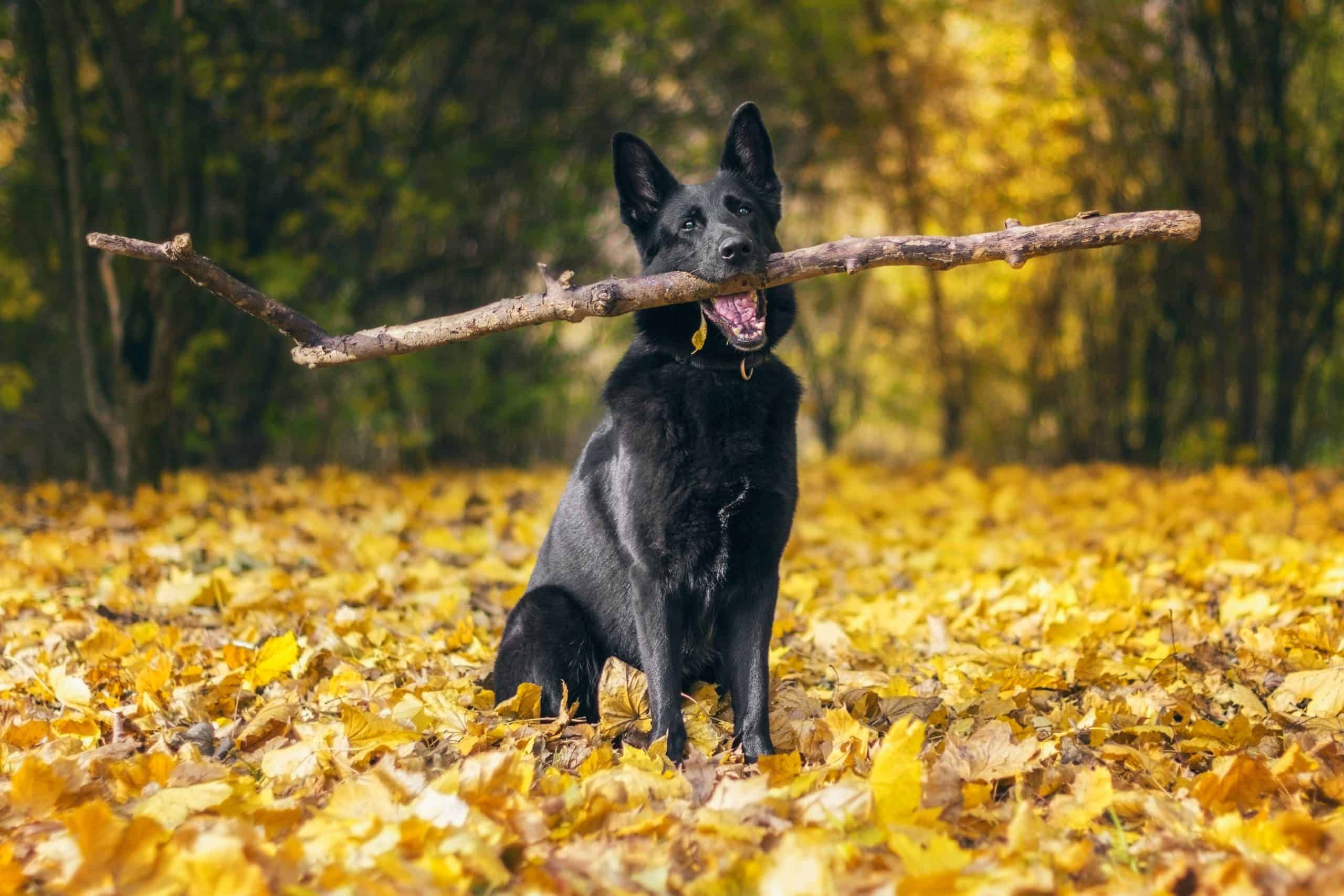 Black German Shepherd holds a big stick.