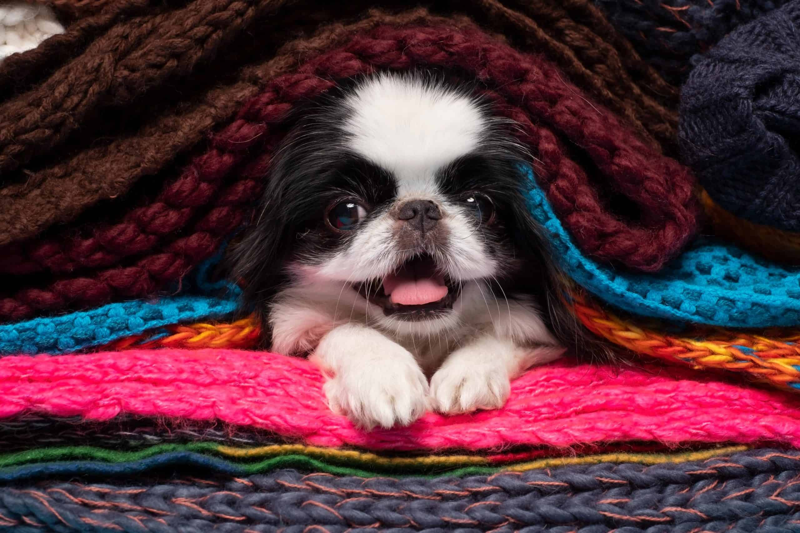 Happy Japanese Chin snuggles under blankets. The Japanese Chin is very empathetic and can instantly tune into its owner's mood and act accordingly.