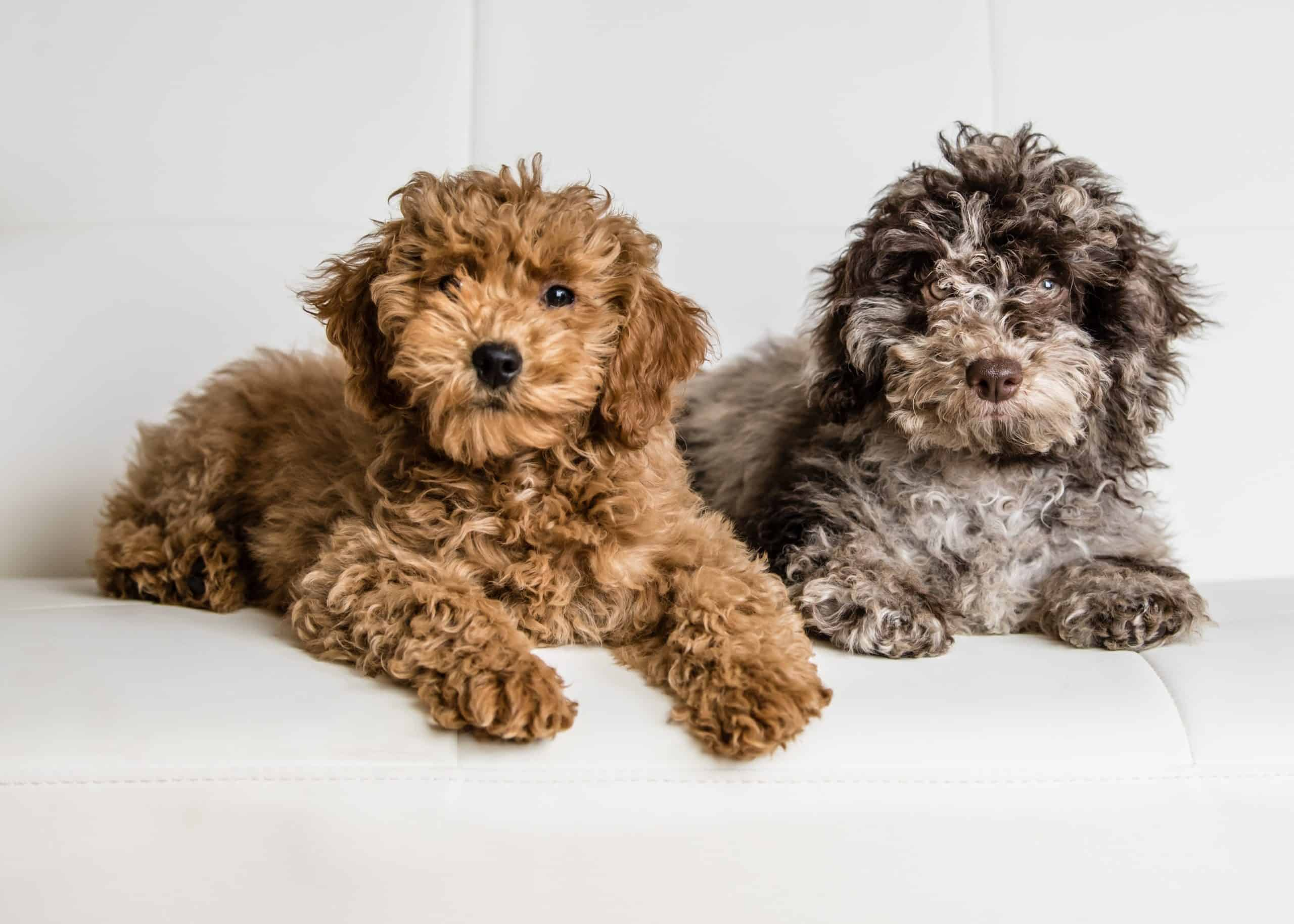 Pair of mini-goldendoodle puppies sits on a white couch. Mini-Goldendoodles come in a variety of coat colors. Most of these colors are in different shades of brown.