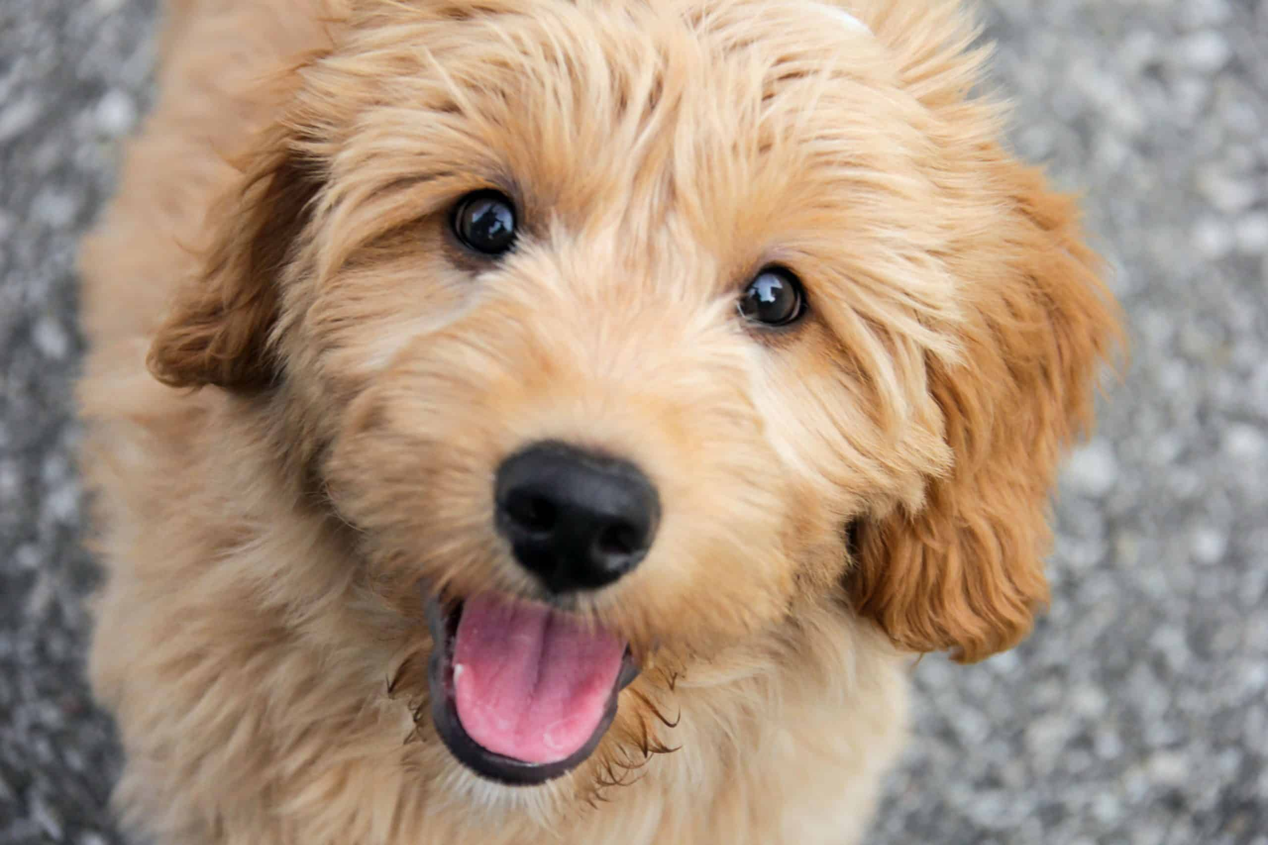 Happy, smiling mini-goldendoodle. Mini-Goldendoodles love attention, and they'll get along with just about anyone.
