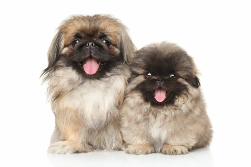Happy Pekinese puppies on a white background. The Pekingese, also affectionately known as a Peke, is a calm dog when it reaches adulthood. It also likes to relax but needs daily walks like any other dog.