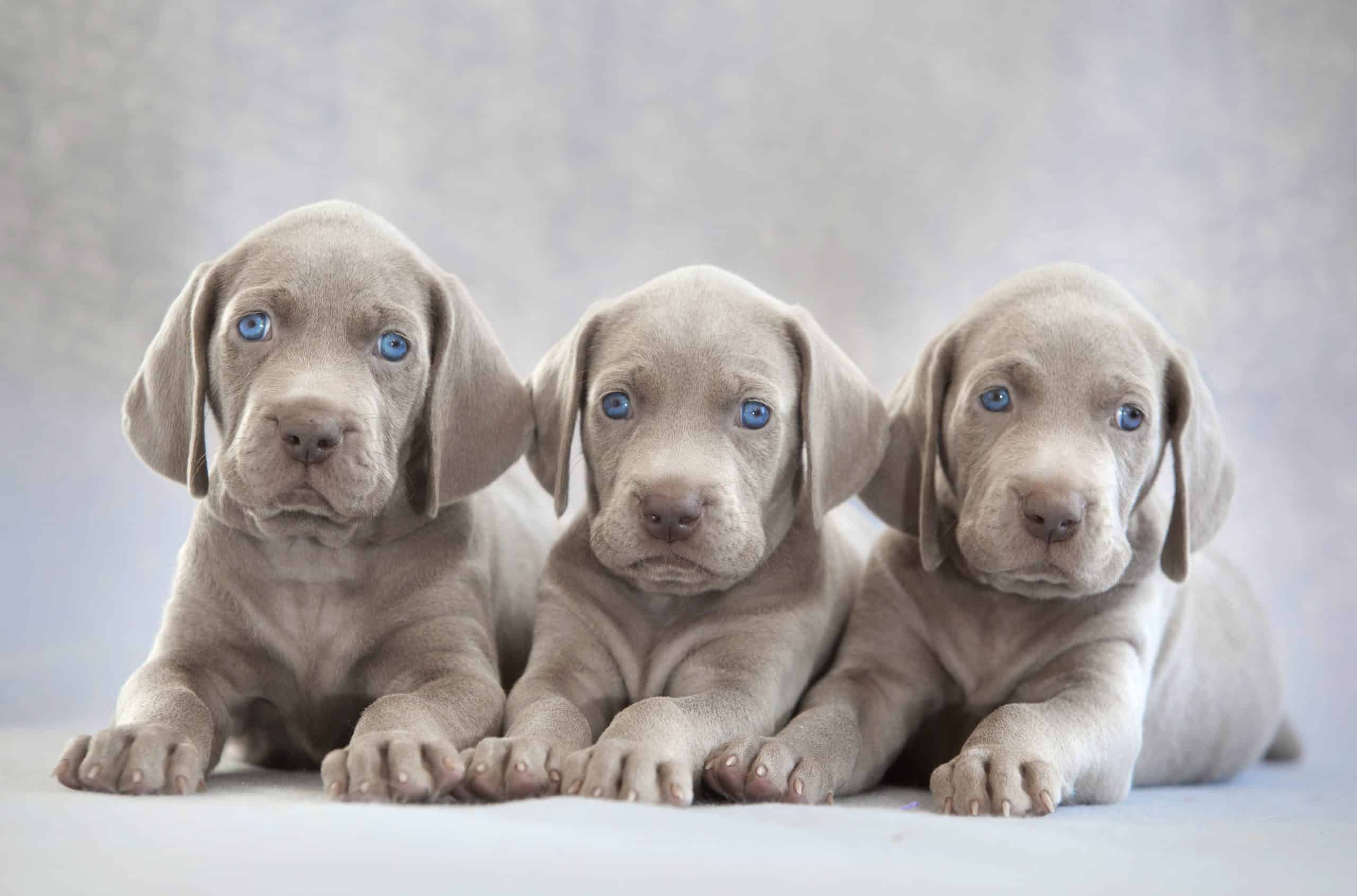 Trio of Weimaraner puppies with bright blue eyes.