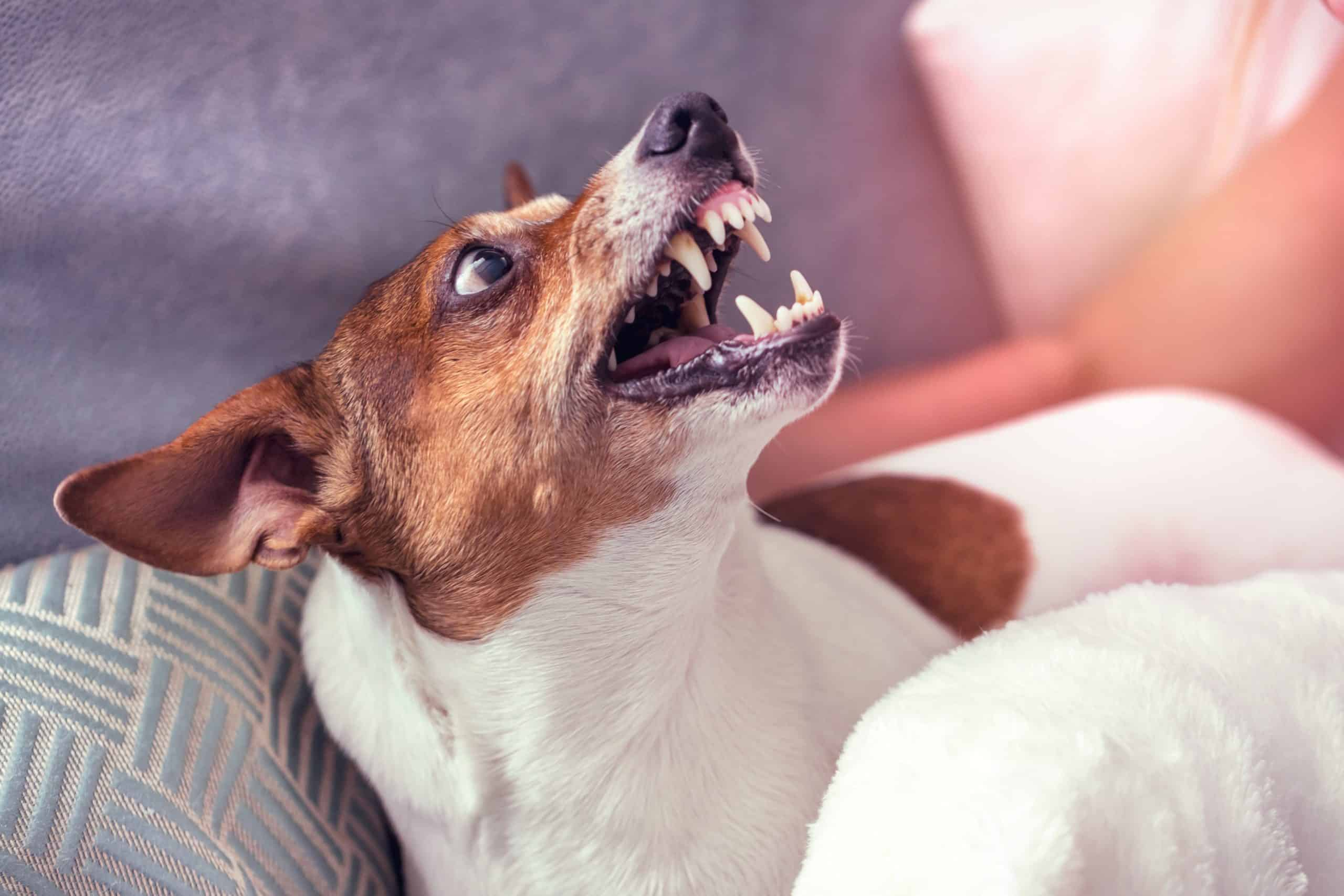 Aggressive dog reacts to owner. To calm an aggressive dog, start by determining what's causing the aggression so you can develop strategies to help your dog.