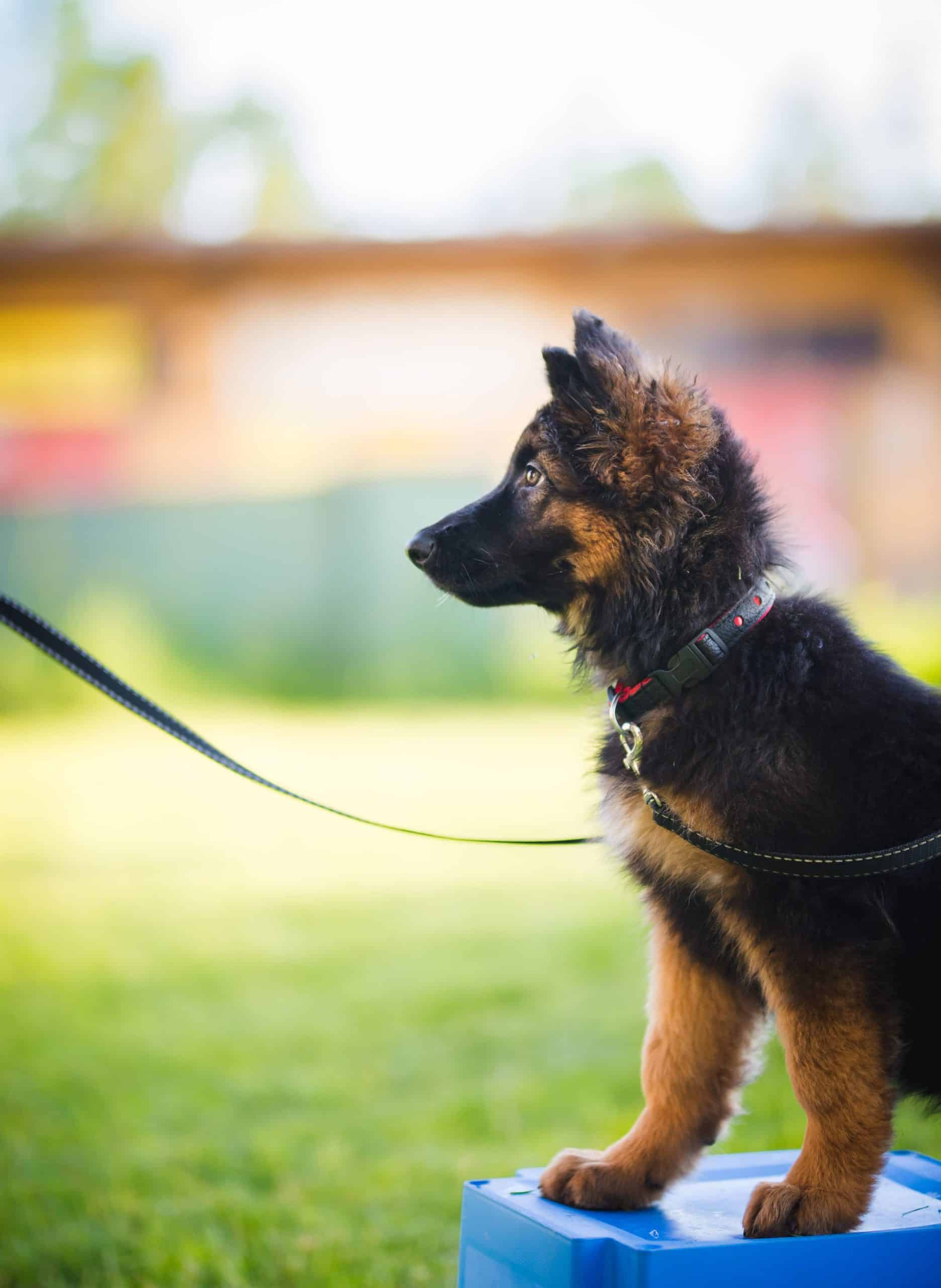 Owner trains German Shepherd puppy. Spend time with your dog either training them or walking them to help them reduce excess energy and aggression.