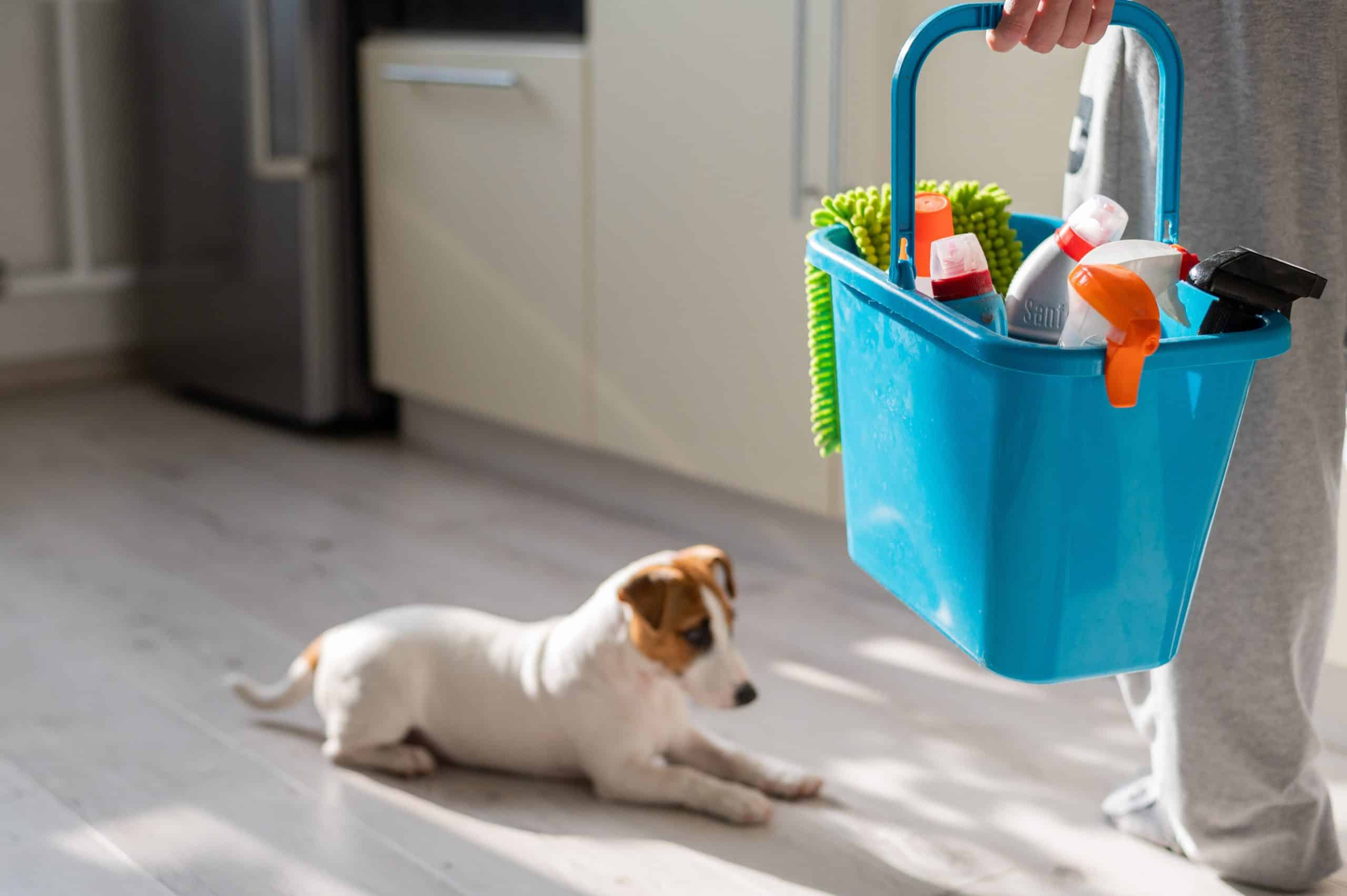 Woman holds bucket of cleaning supplies while Jack Russell Terrier rests on clean floor.