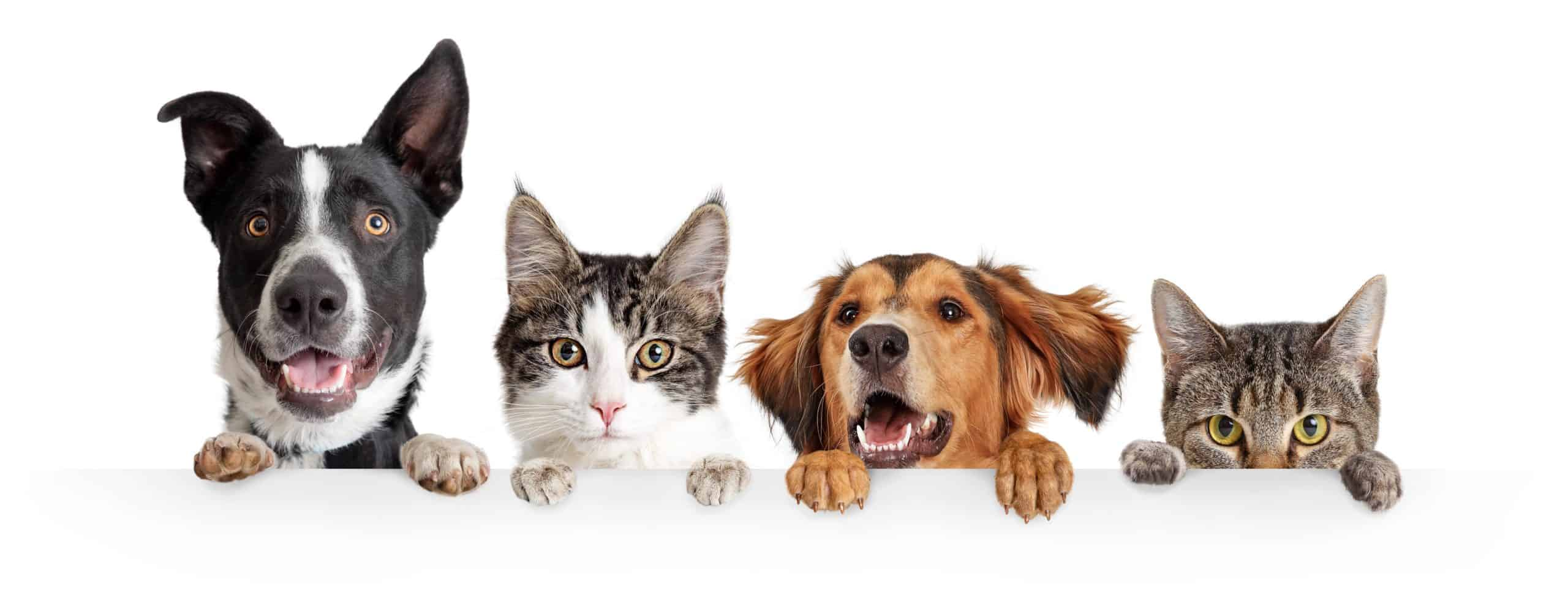 Collection of dogs and cats on a white background. Cats vs. dogs: Differences include size, food, communication styles, memory, potty breaks, and exercise needs.