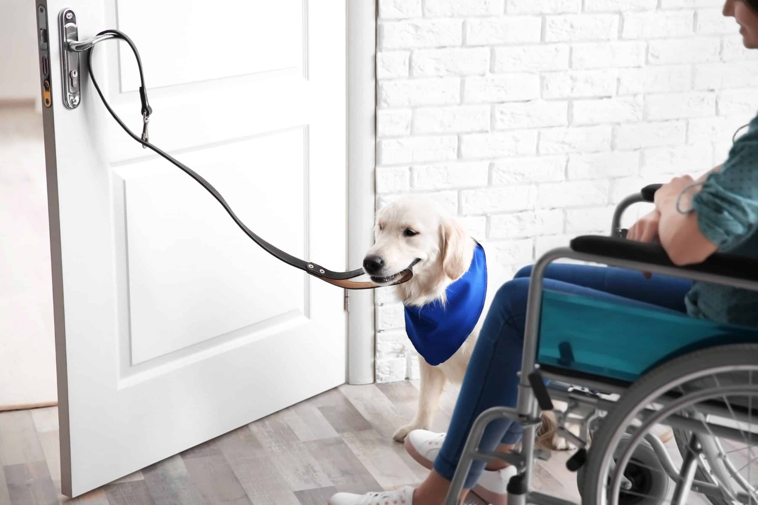 Golden retriever service dog opens door for owner in wheelchair. To prove that your dog is a service dog, you need to confirm that they perform a task that helps you with a disability and be prepared to state what that task is.