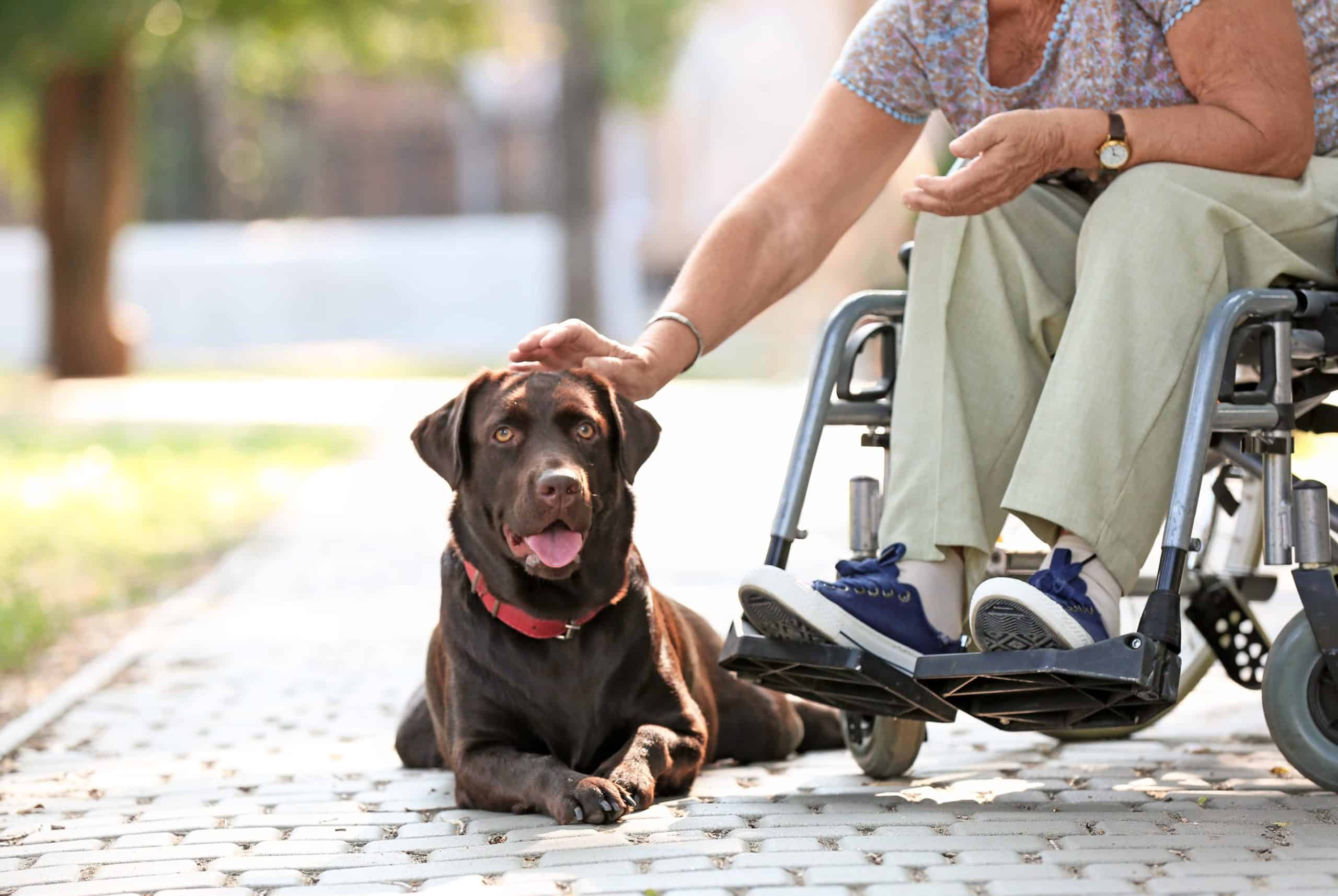 Woman in wheelchair pets chocolate Labrador Retriever. While you don't legally need to certify your dog, it's easier to show documentation rather than get into a legal argument about service dogs.