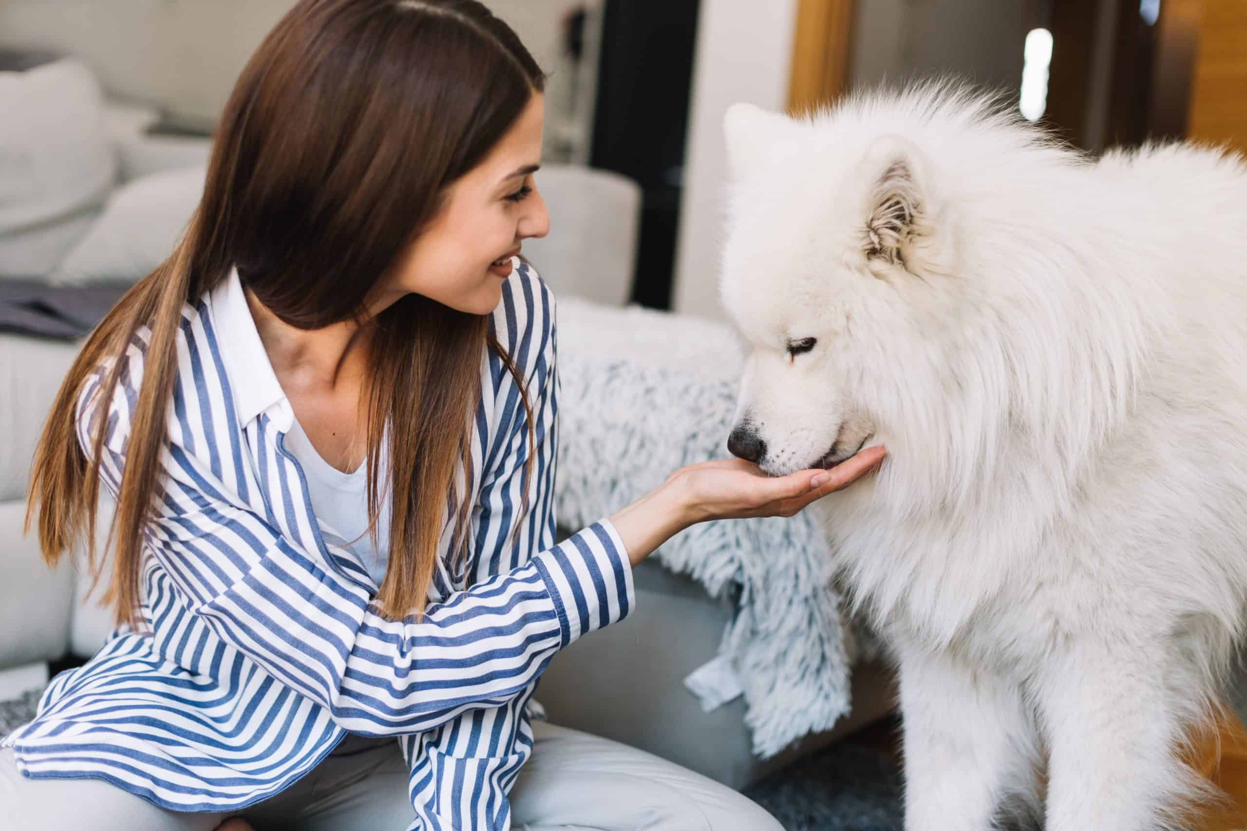 Woman feeds Samoyed from her hand. Samoyed owners are friendly.