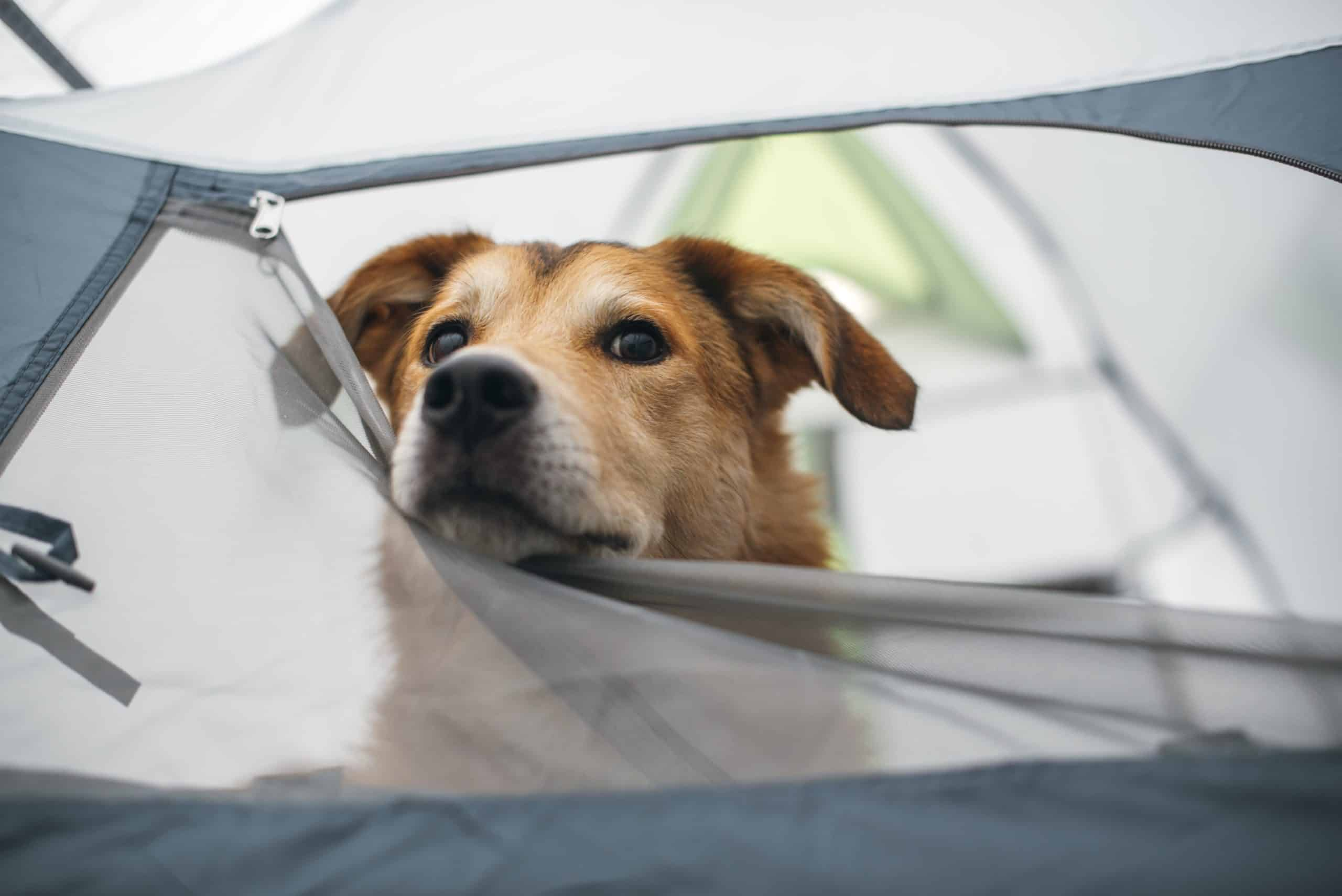Dog peeks out through tent flap.