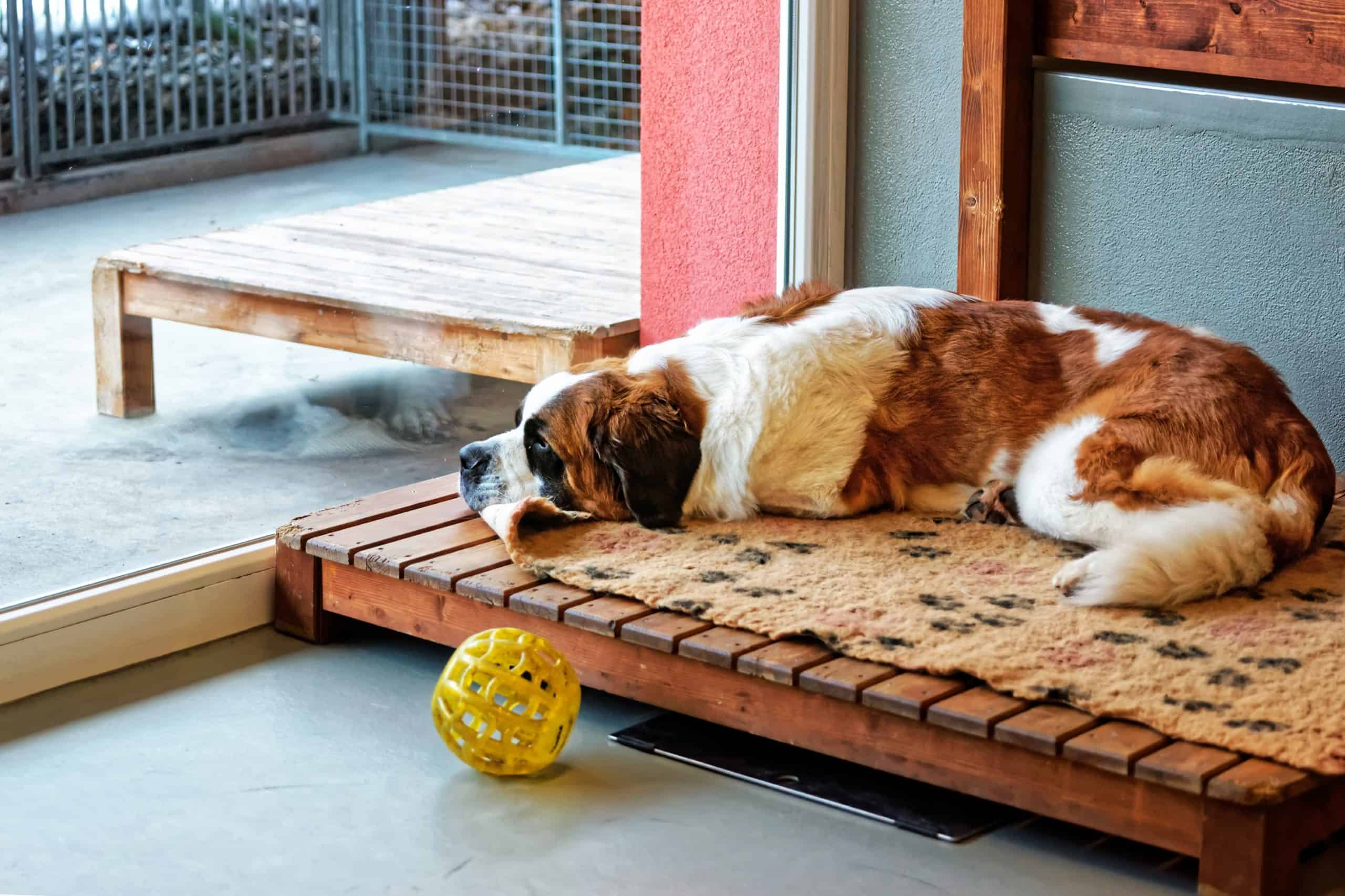 St. Bernard lounges on a special dog bed at a dog kennel. Dog kennels are beneficial for the physical, mental, and emotional health of your dog.